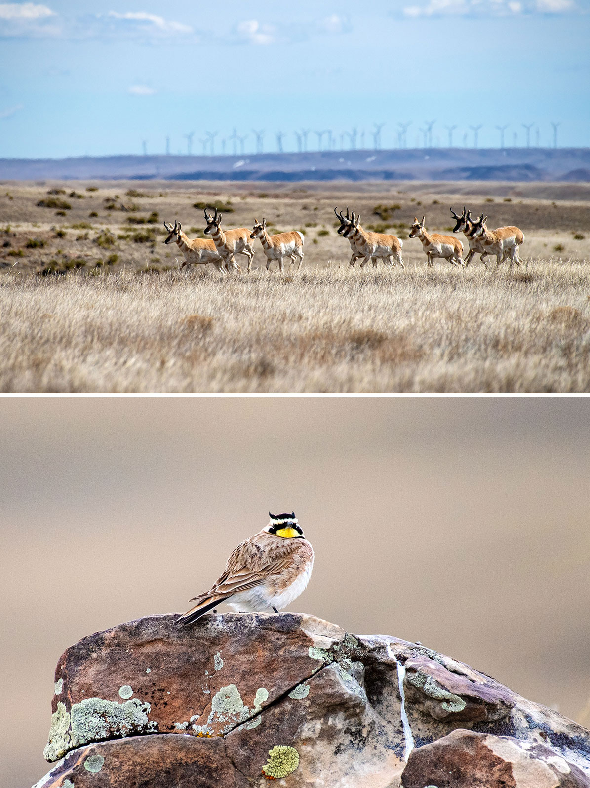 Top: A band of pronghorn move gracefully over shortgrass prairie at Soapstone Prairie Natural Area in Colorado. Bottom: With its distinctive ear tufts, a male Horned Lark rests on a lichen-covered boulder at Soapstone Prairie. Photos: Dave Showalter