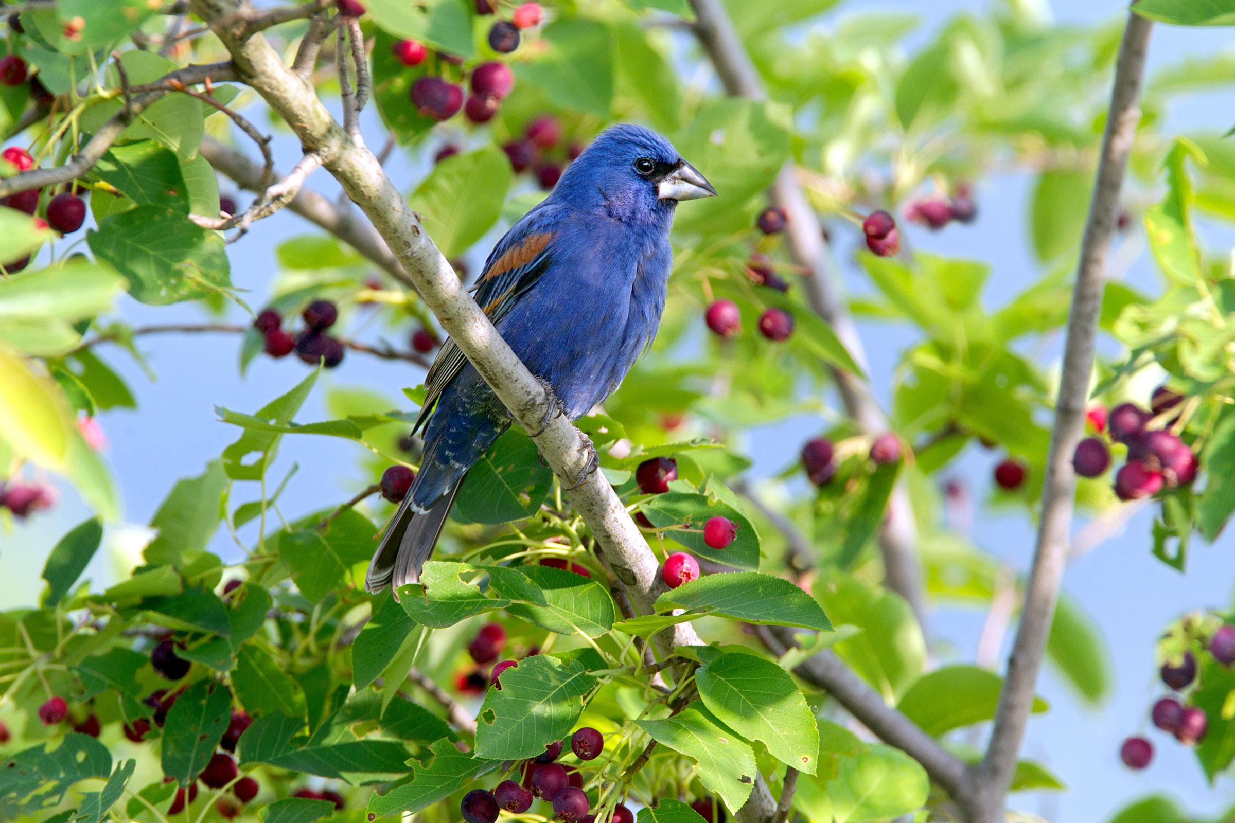 Blue Grosbeak in serviceberry. Dave Maslowski