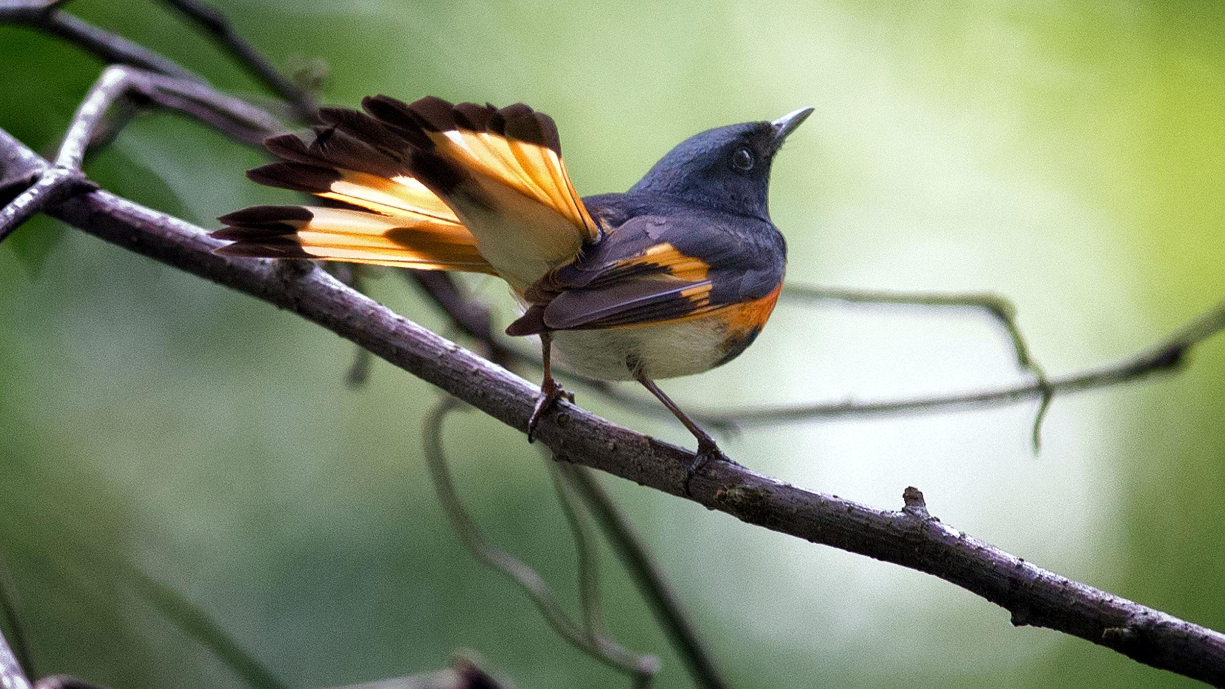 American Redstart | Audubon Field Guide