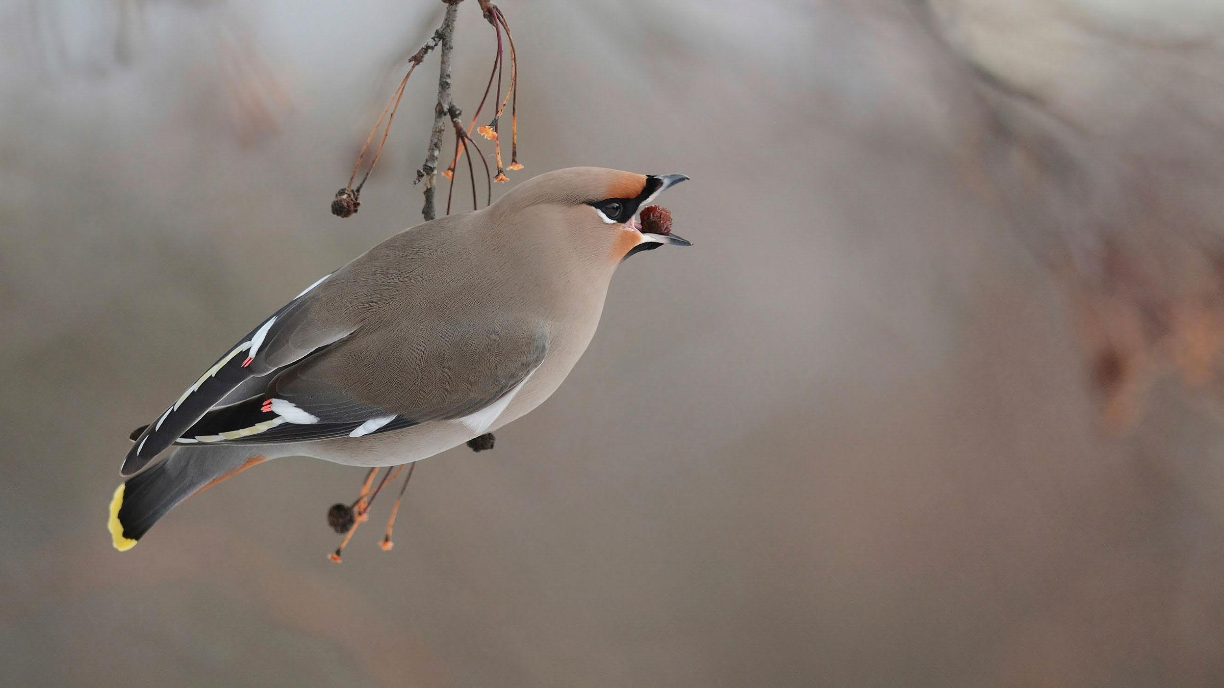 Bohemian Waxwing | Audubon Field Guide