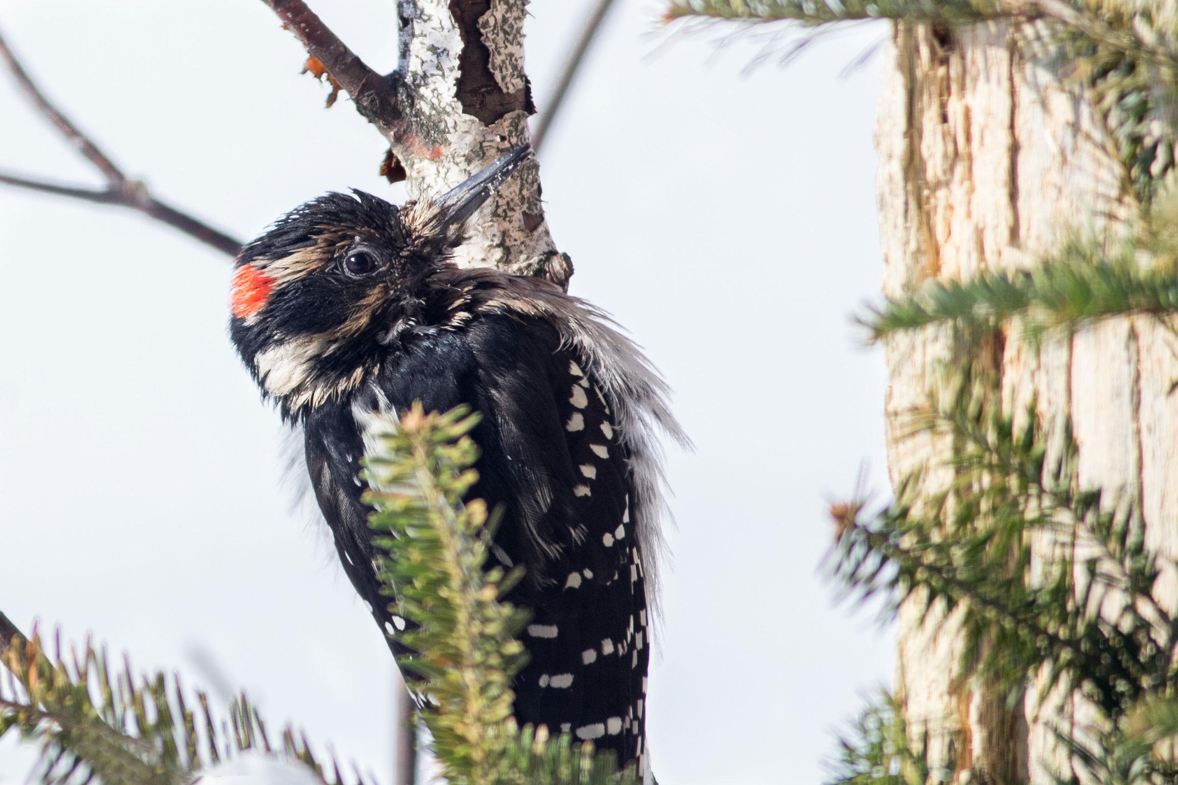 Hairy Woodpecker. Sandy Cutting/Audubon Photography Awards