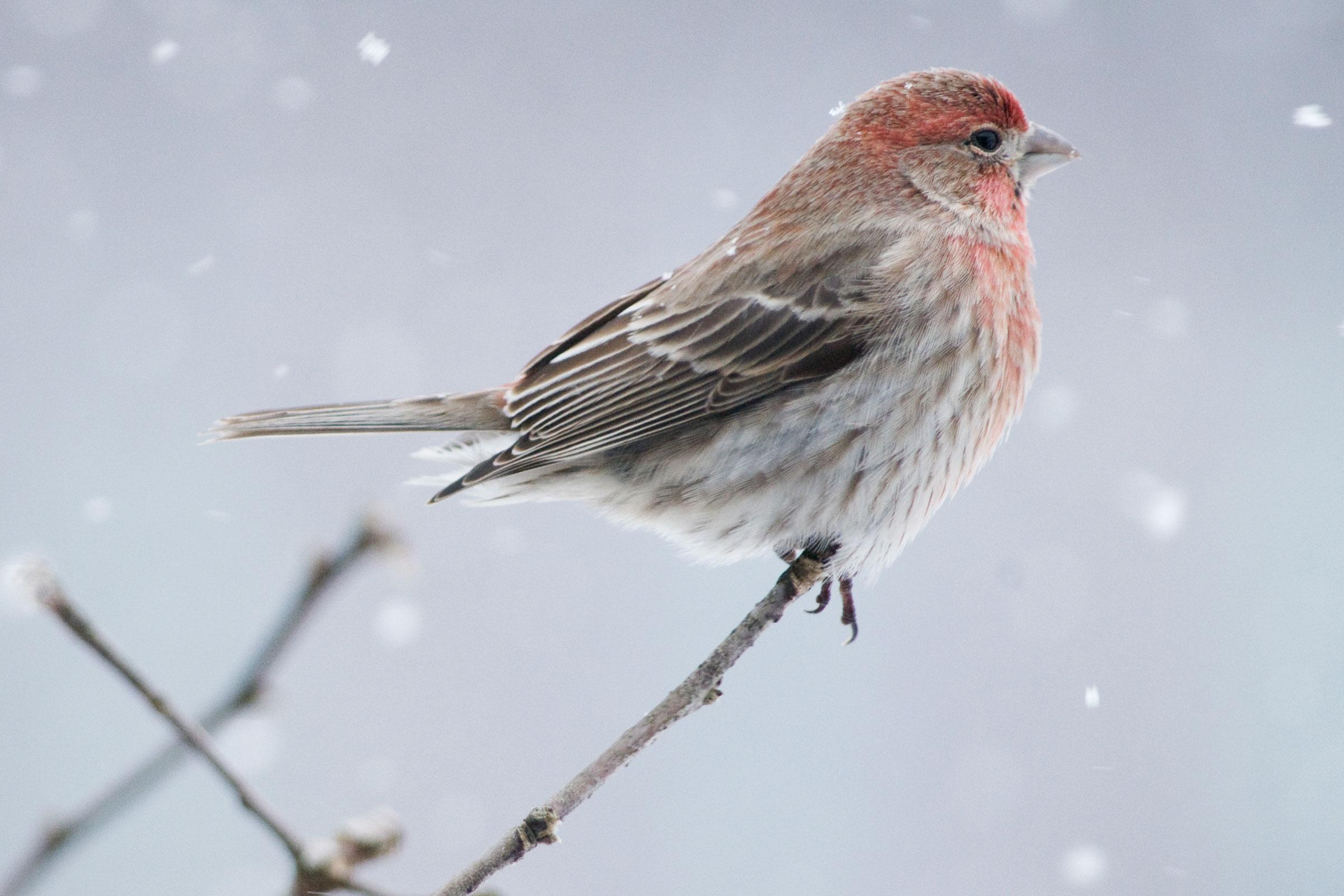 House Finch. Michele Black/Audubon Photography Awards