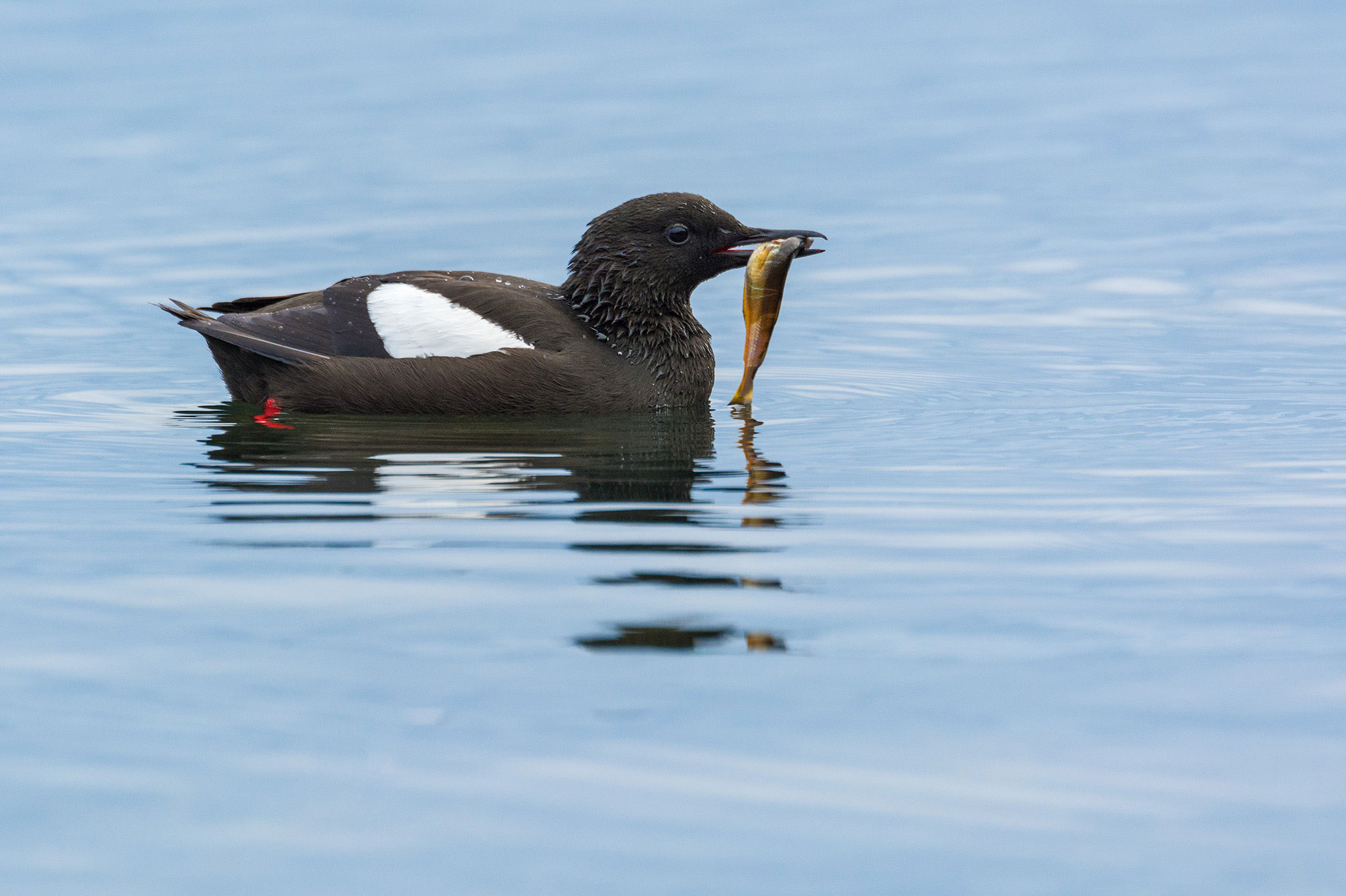 A Black Guillemot perched at the water's edge on Flatey Island in Western Iceland. E.J. Peiker