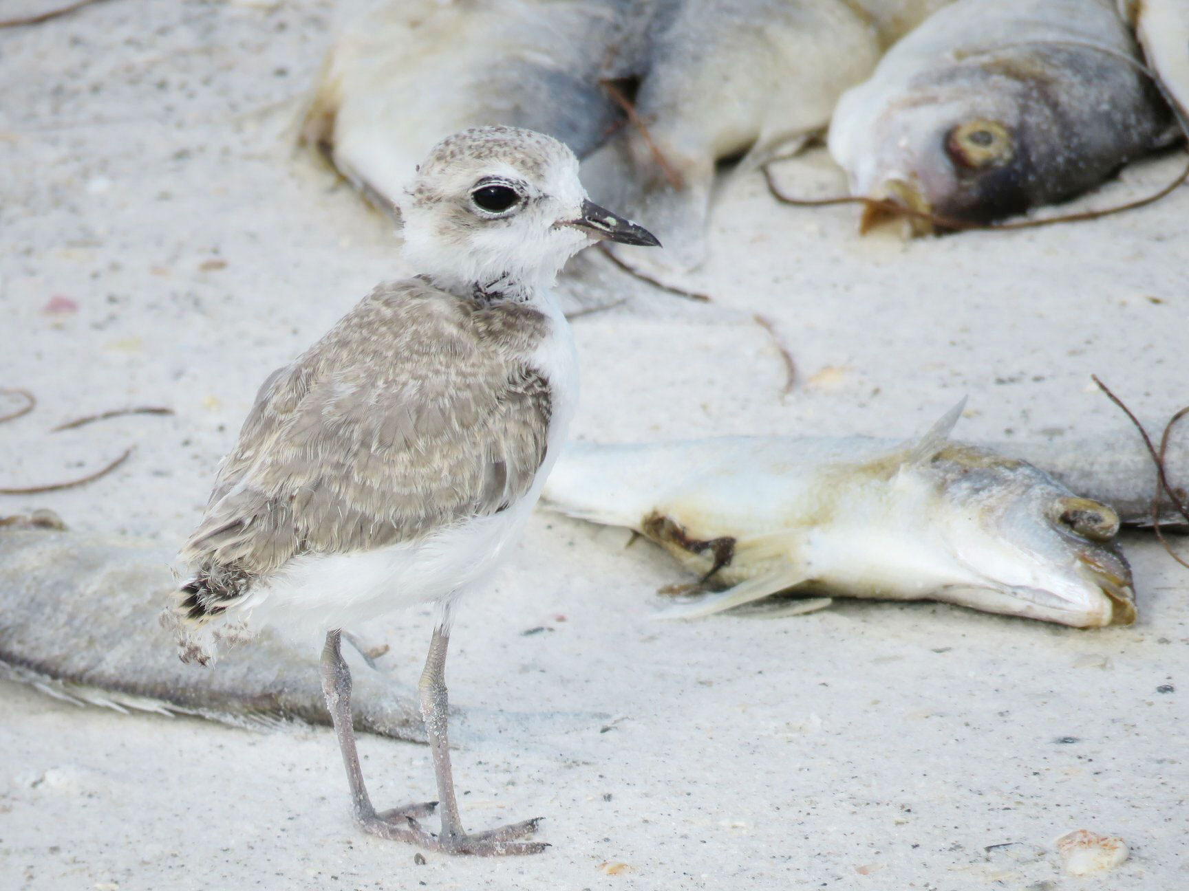 Out of 14 hatchlings, only one Snowy Plover chick successfully fledged on Longboat Island this year. This chick's mother was found dead in September, likely from red tide poisoning. Kylie Wilson