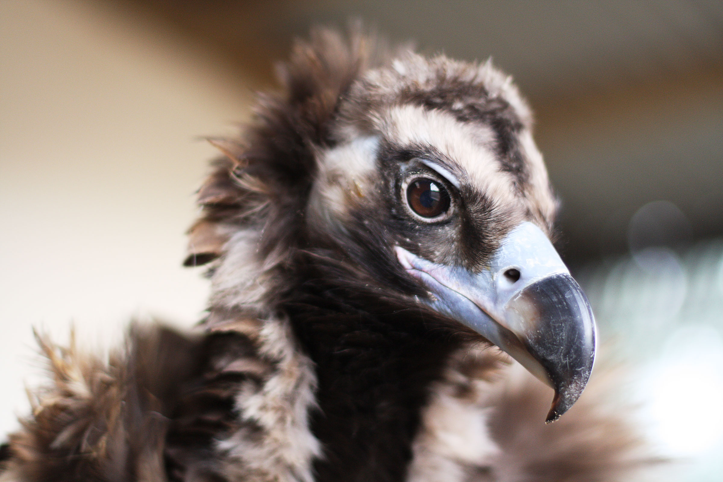 Bernard the captive-bred Cinereous Vulture is nearing his 20th birthday. The typical lifespan for his species ranges from 50 to 60 years. Adam Bloch