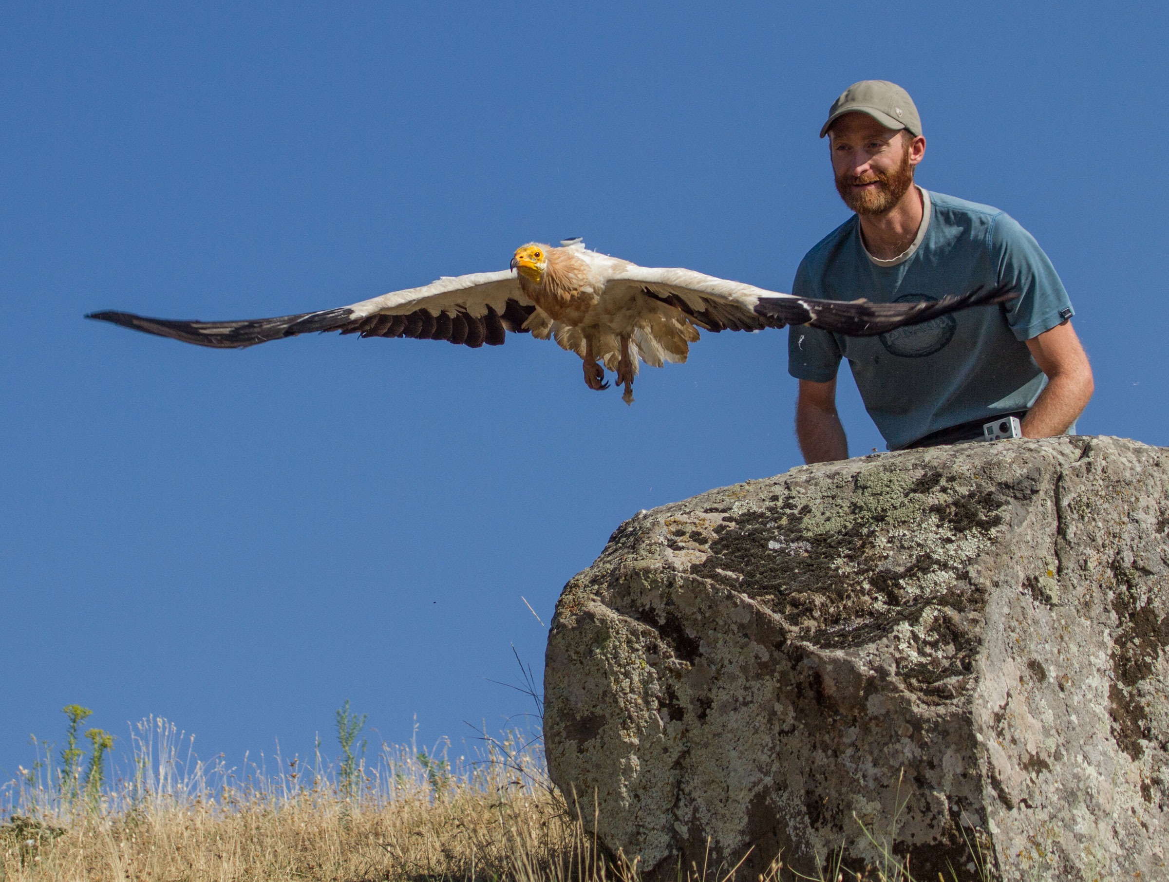 Buechley releases an adult Egyptian Vulture in Armenia after attaching a tracker on its back. These devices help scientists investigate where this endangered species is breeding, feeding, and migrating. Anush Khachatrian