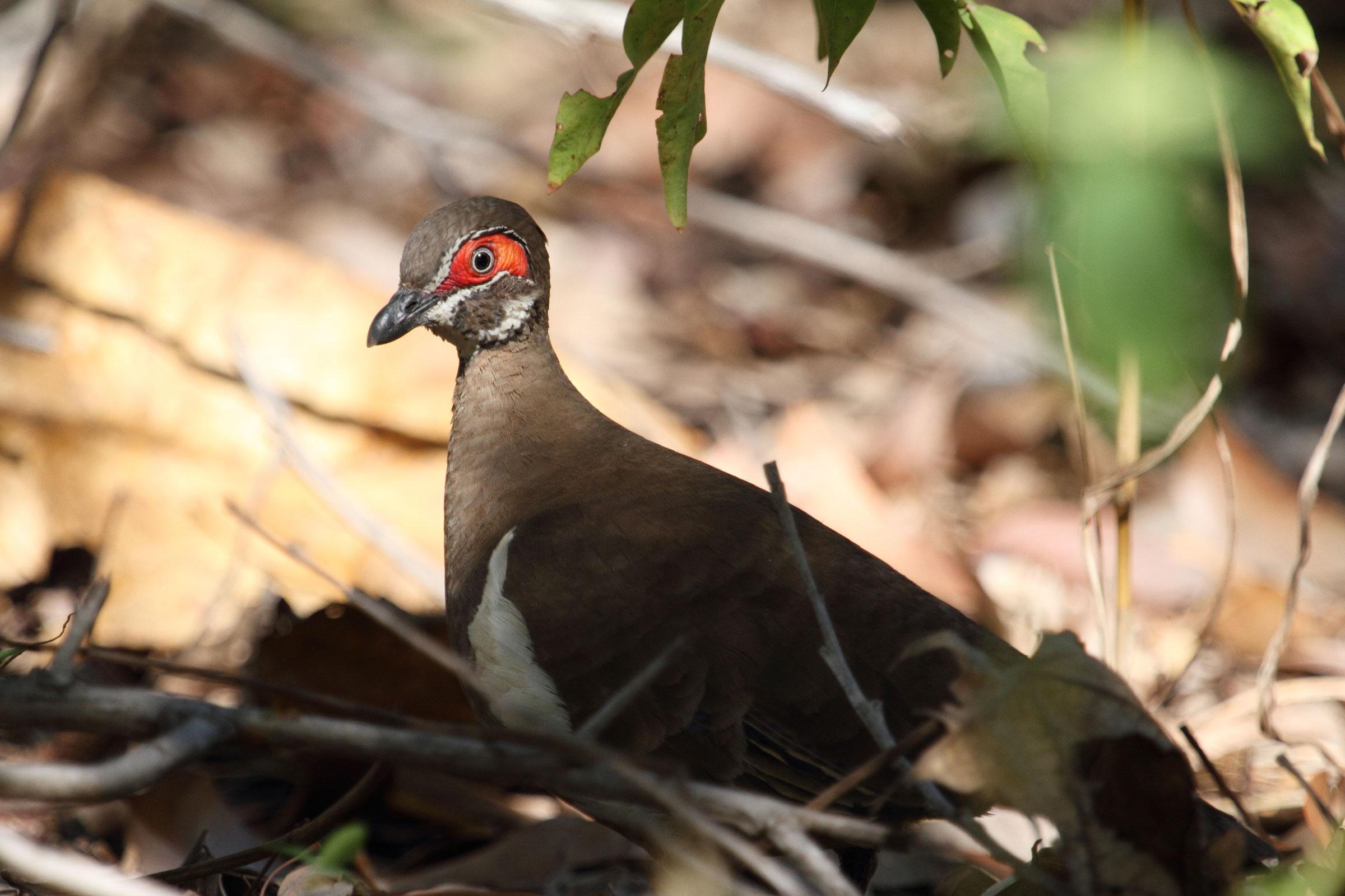 Partridge Pigeon. Jim McLean