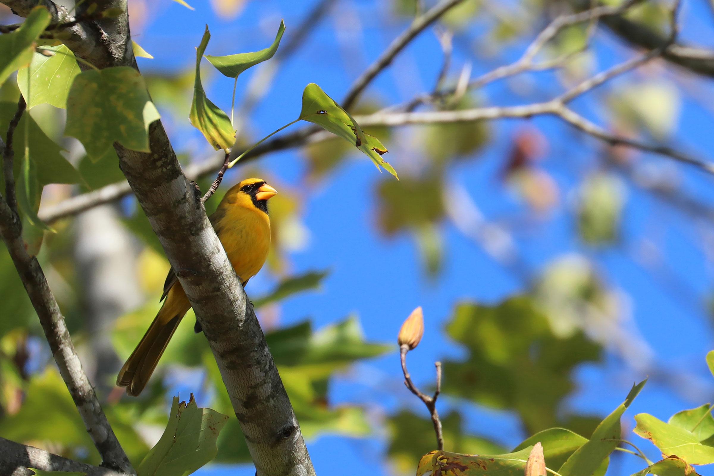 A yellow Northern Cardinal. Jeremy Black Photography
