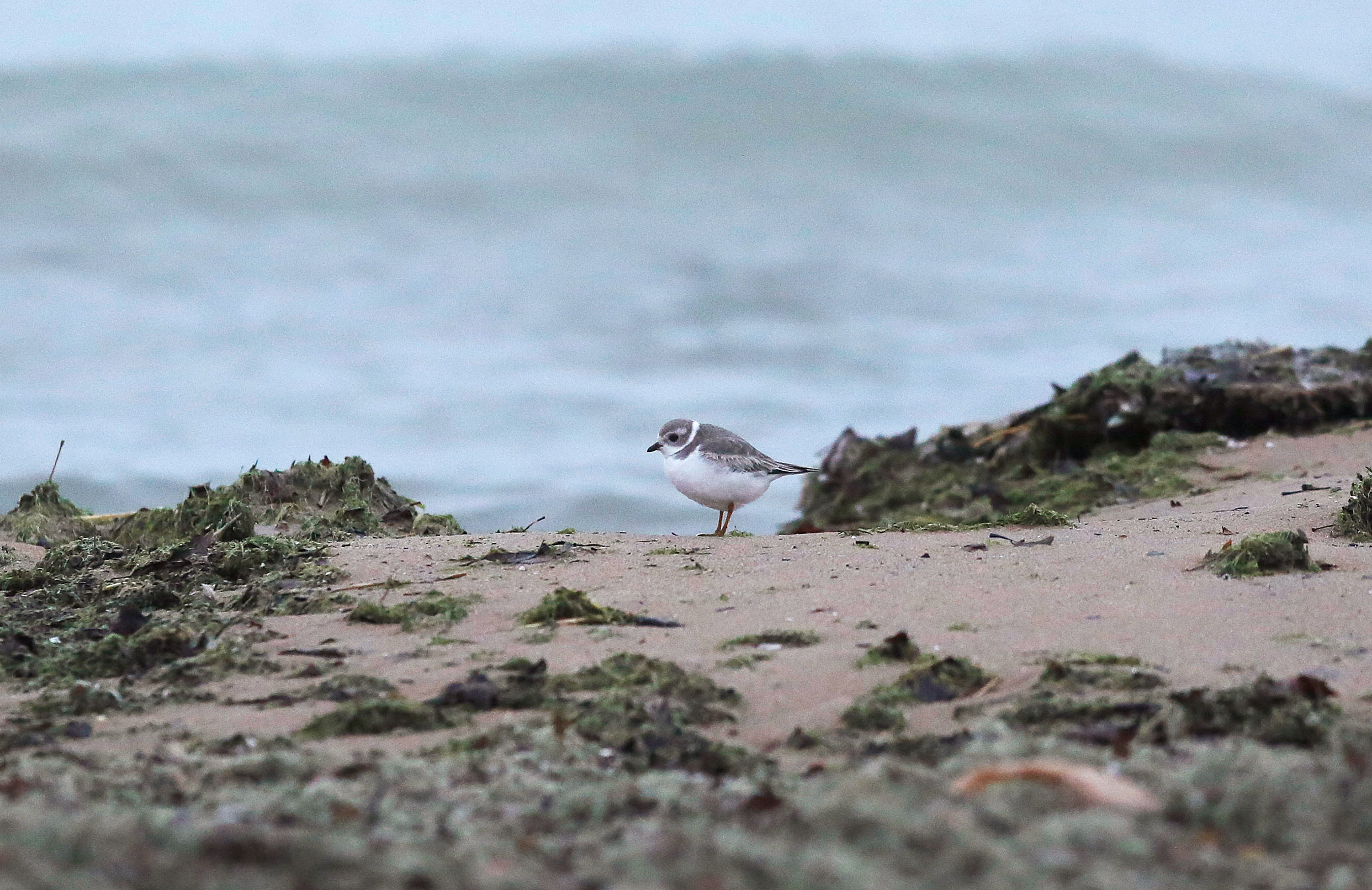 A rare Piping Plover rests on Montrose Beach along Lake Michigan. The birds are just starting to rebound in the Great Lakes region, and most fly south for the winter. Joshua Lott