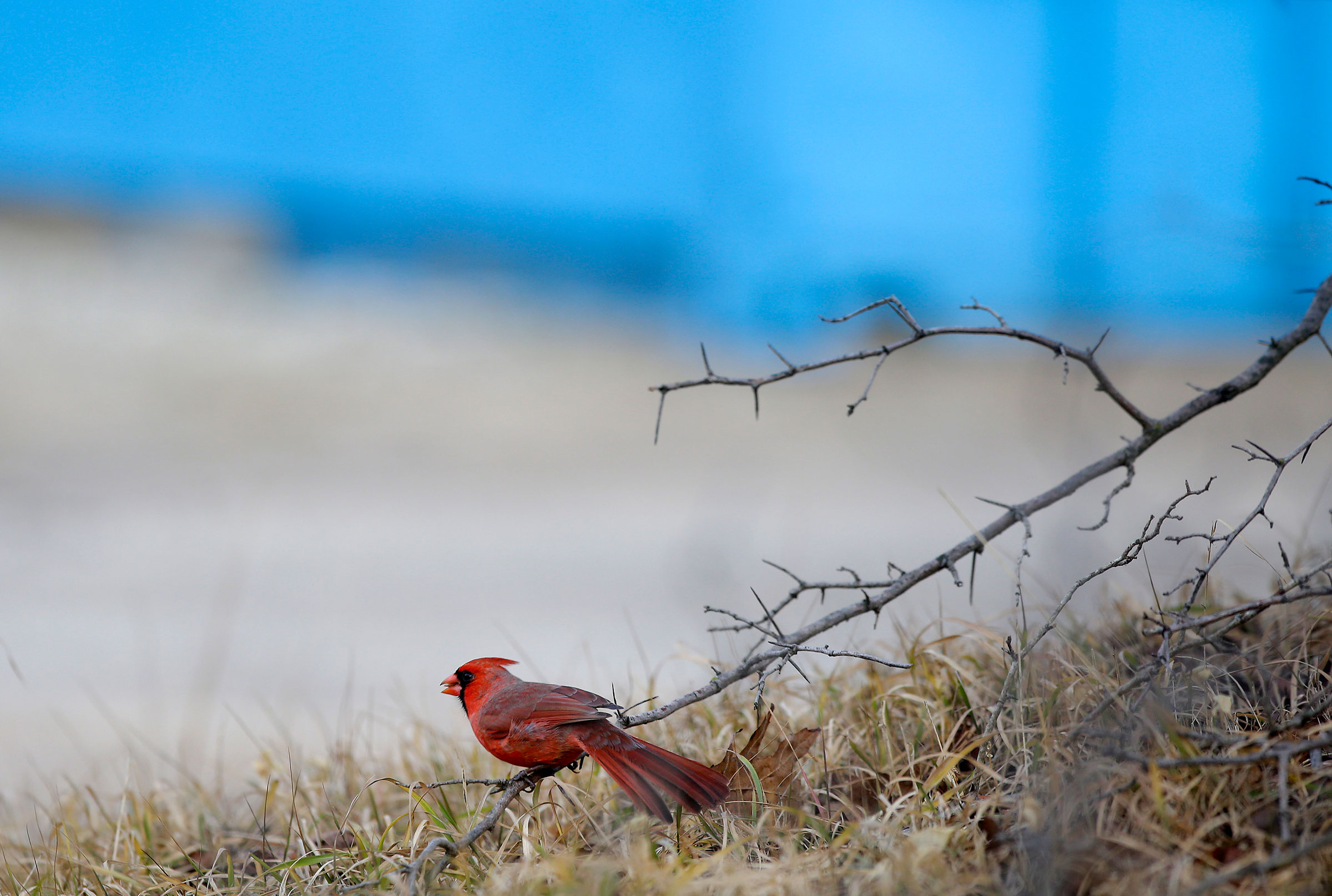 A Northern Cardinal sits on a tree branch in Chicago's Montrose Point Bird Sanctuary. More than 30 different bird species were counted from Montrose Beach on the Northside to Promontory Point on the Southside of the city. Joshua Lott
