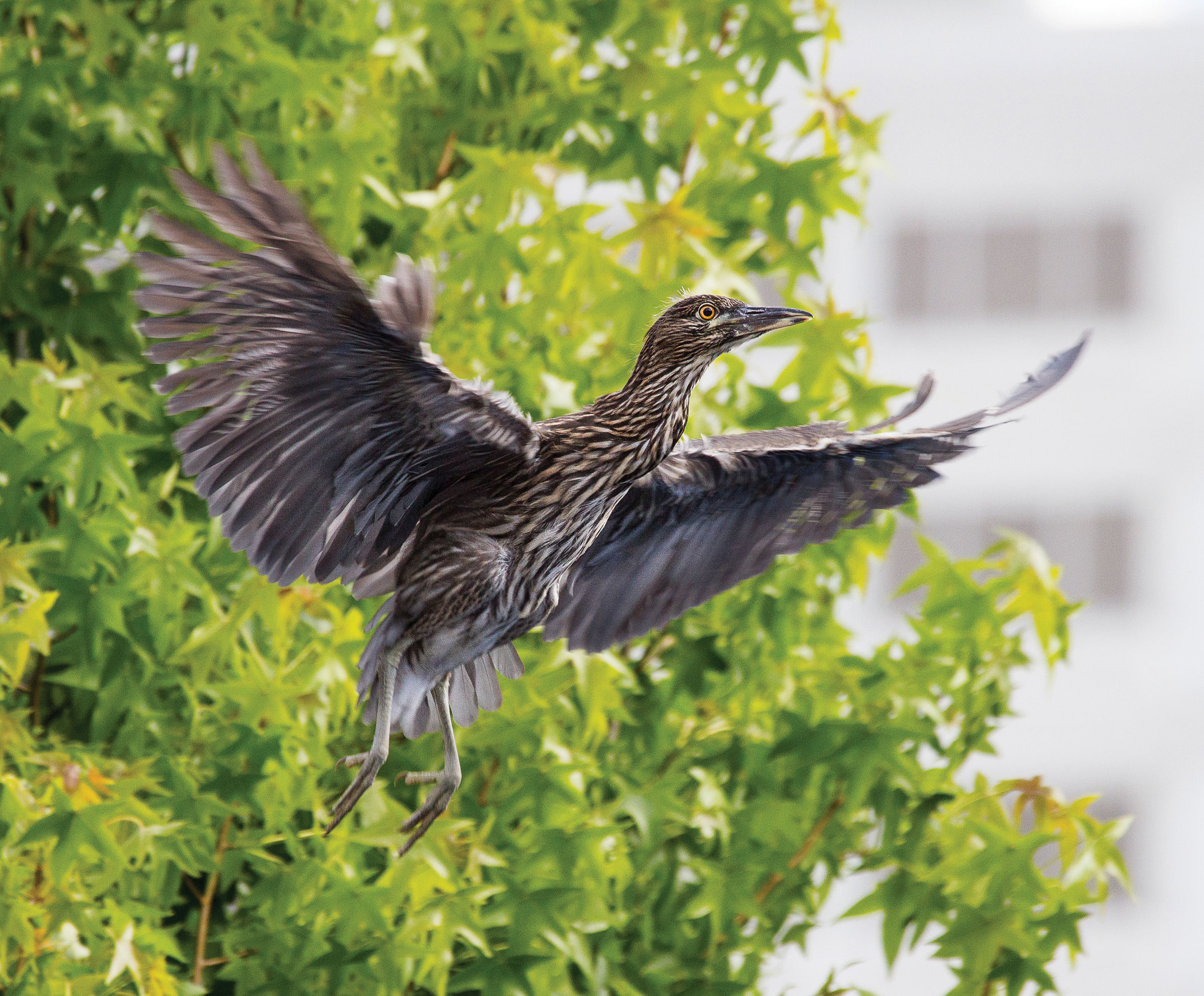 Black-crowned Night-Herons, like this juvenile, nest in rookeries in downtown Oakland, where a fall to the sidewalk can be deadly. Lee Aurich