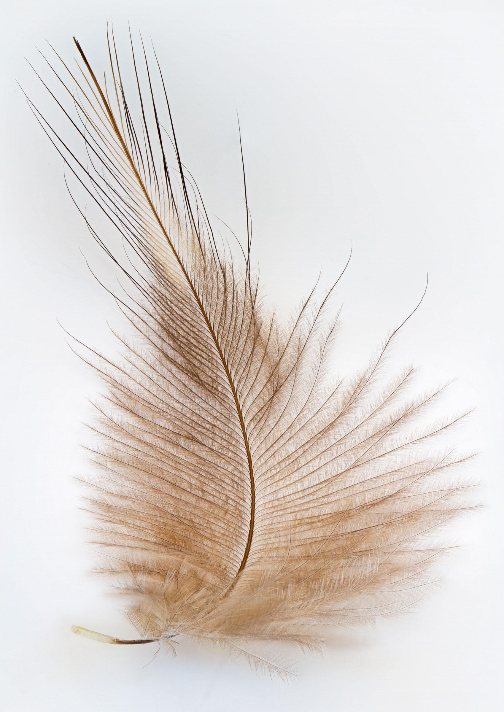 Kiwi feather. Heather O'Brien