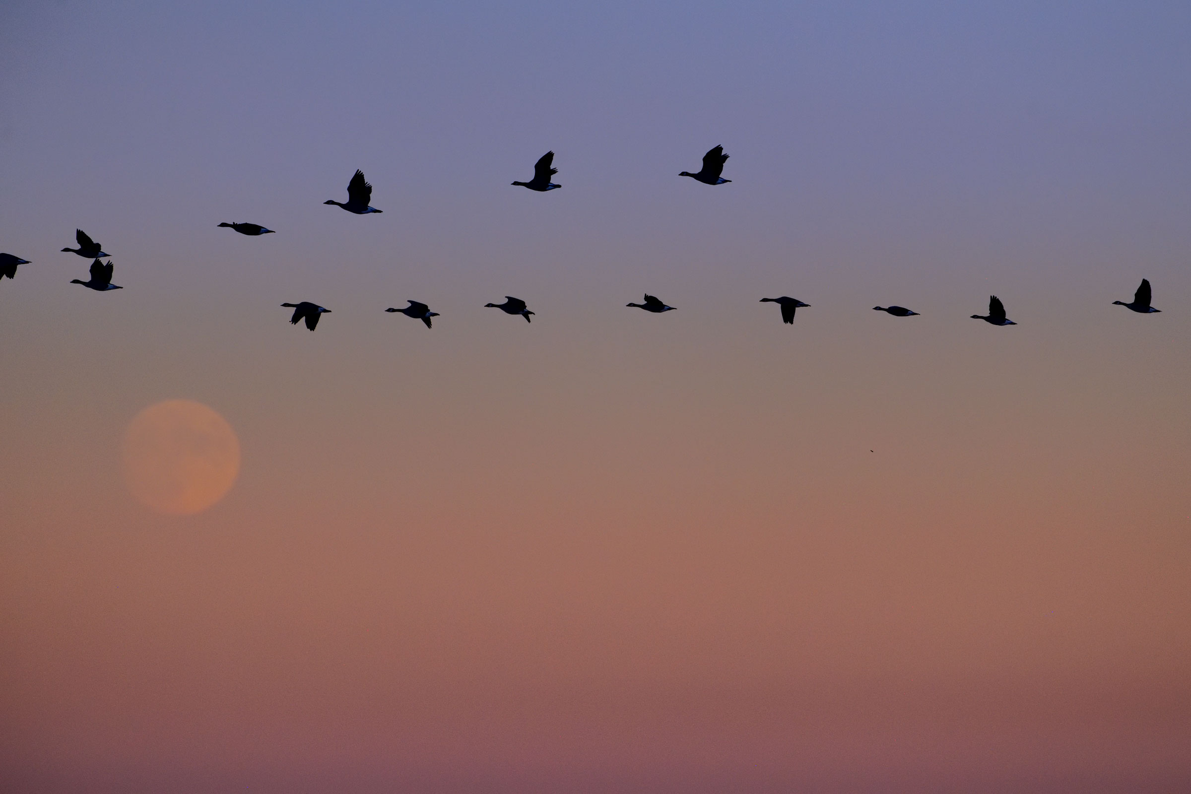 As twilight descends in Boulder, Colorado, in October, Canada Geese fly high overhead, joining the pulse of birds migrating south under the cover of darkness. Keith Ladzinski