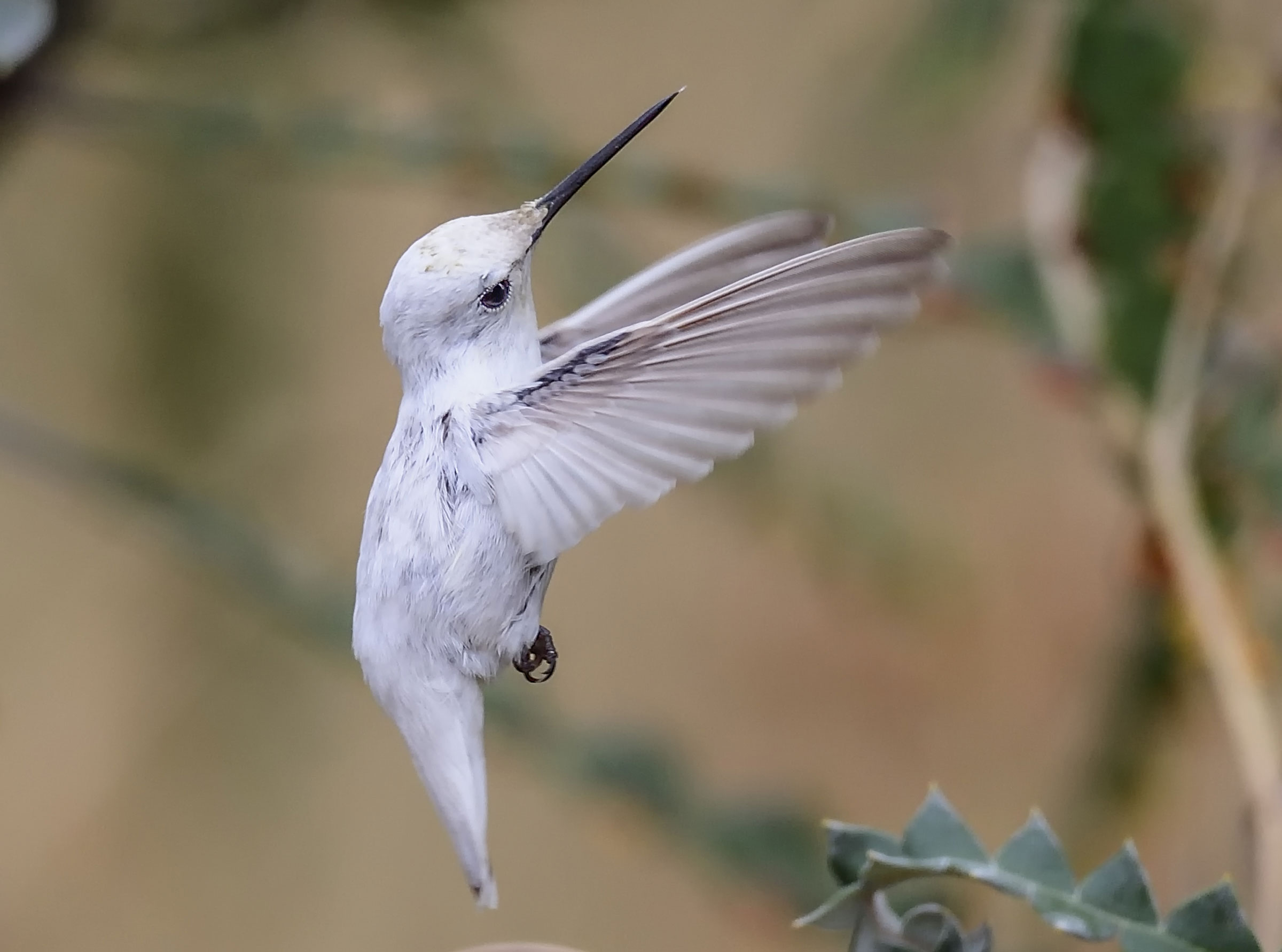 The rare patch of black feathers is evidence that the bird is leucistic, not albino. Brad R. Lewis