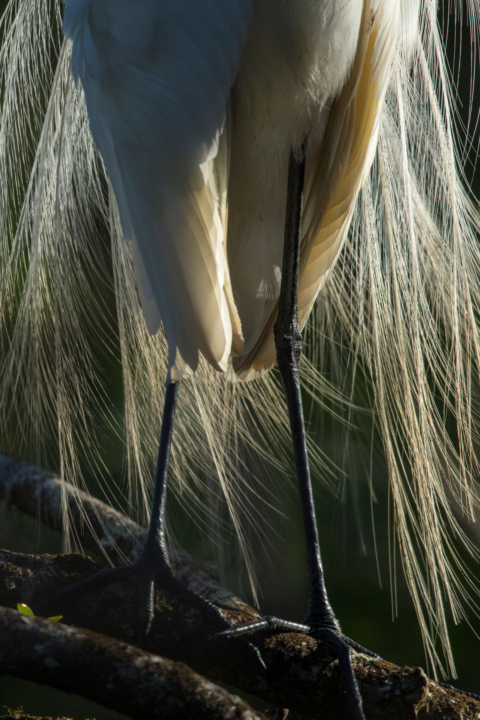 A Great Egret in breeding plumage is backlit by a rising sun in Audubon's Corkscrew Swamp Sanctuary. Birds come from around the watershed to forage for fish in the pockets of deep water that form here during the dry season. Mac Stone