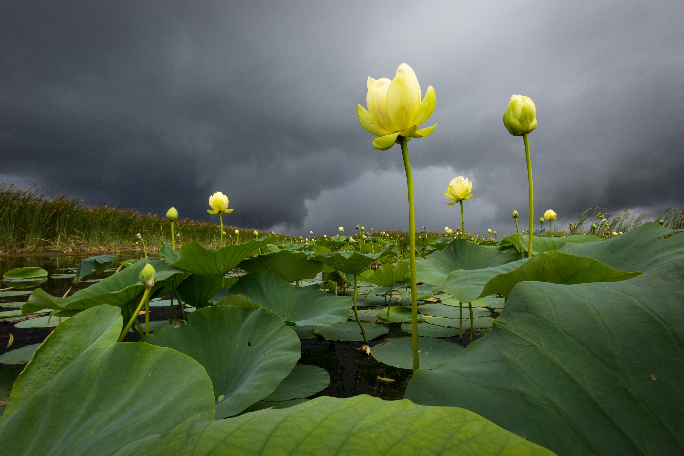American lotus blooms brace for impact as a summer squall races across Lake Okeechobee in Florida, the seventh largest lake in the United States. Mac Stone
