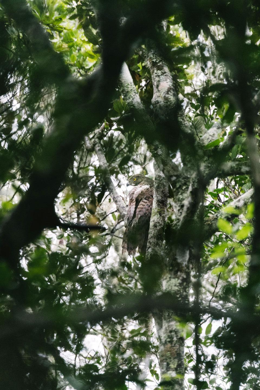 A radio-tagged Madagascar Serpent-eagle in a forest near Bemanevika. Tristan Spinski