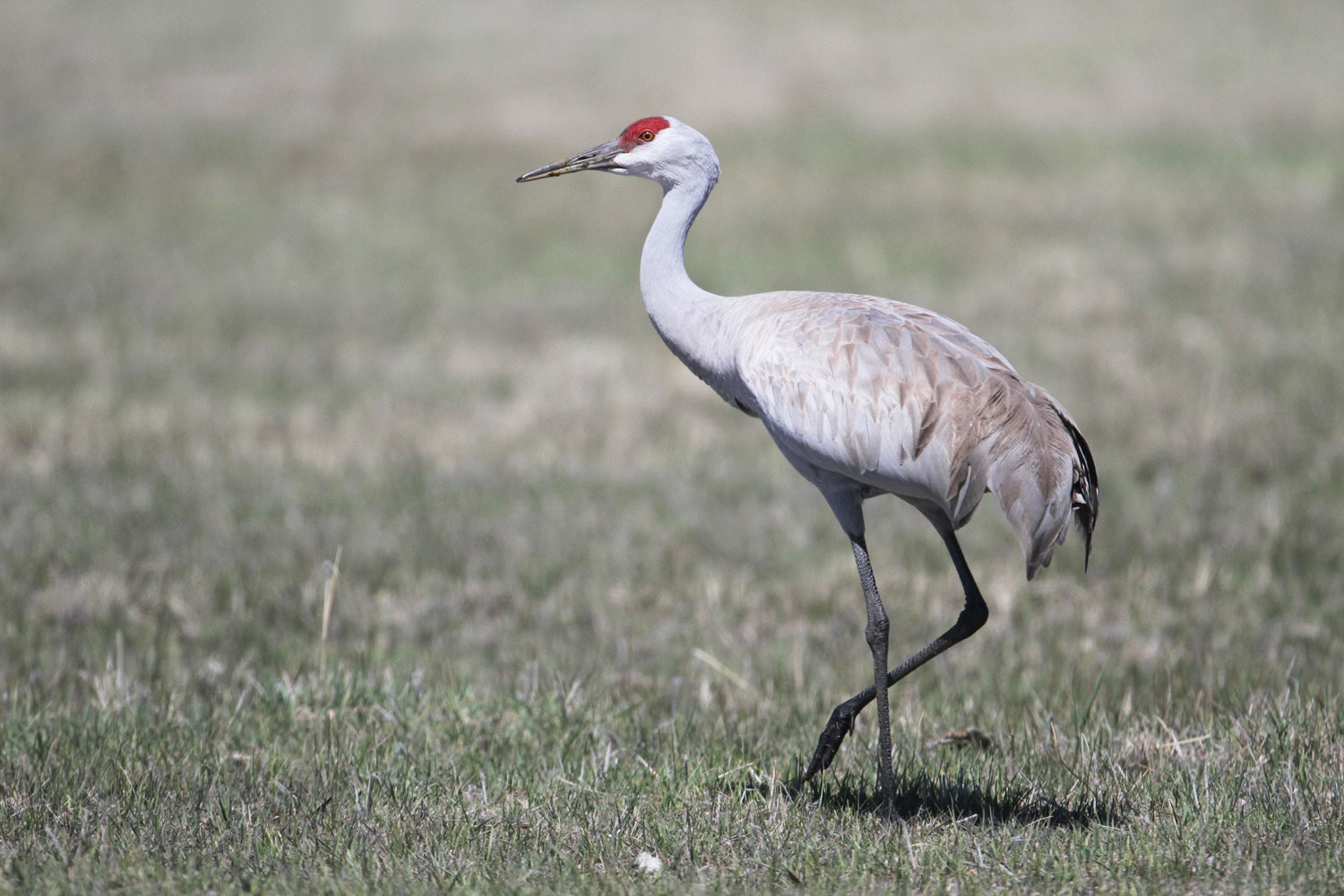 Sandhill Cranes announce the beginning of spring at the refuge. Noah Strycker