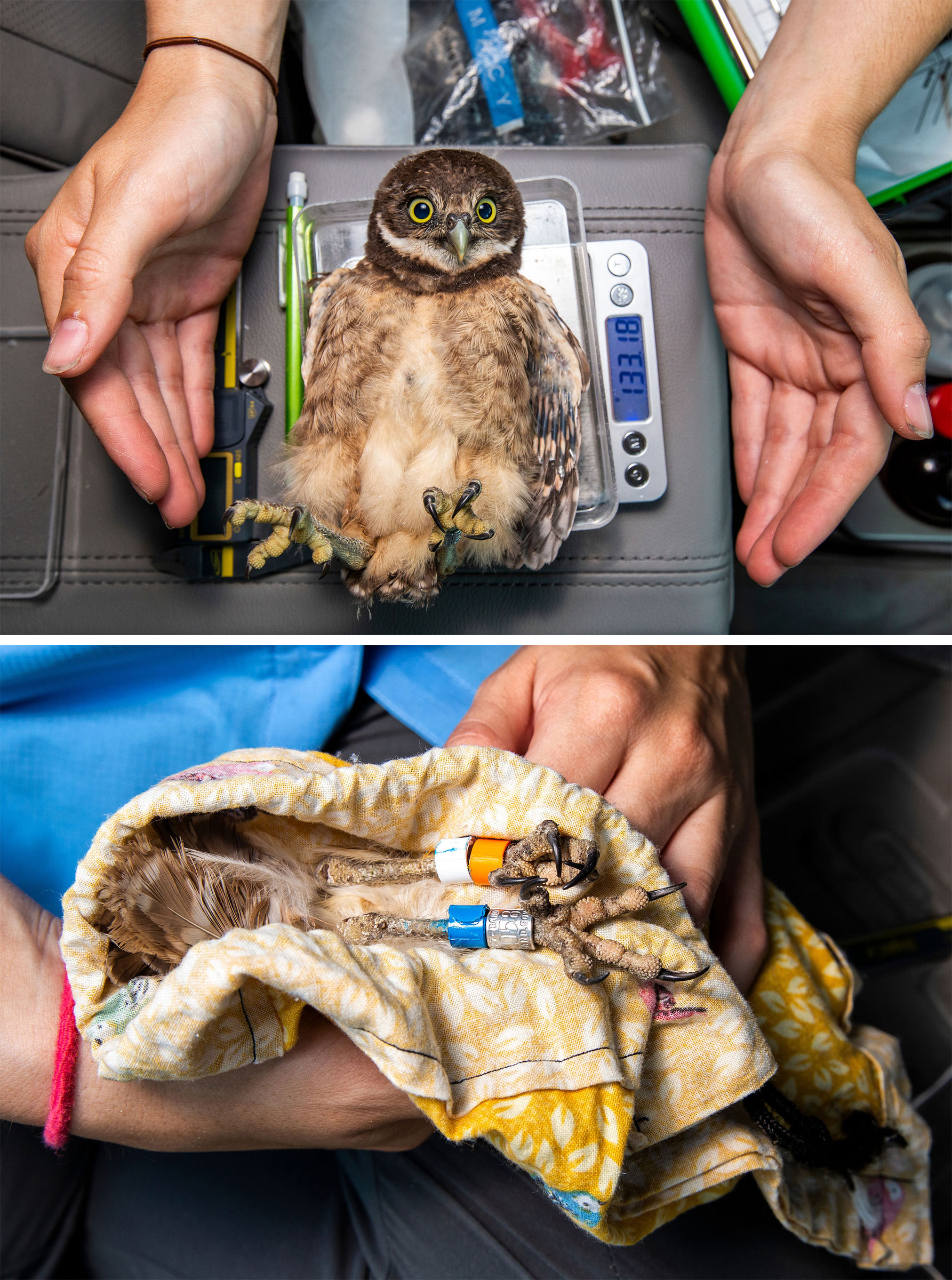 Smith weighs and bands a Burrowing Owl chick in the back of her car. Photos: Karine Aigner