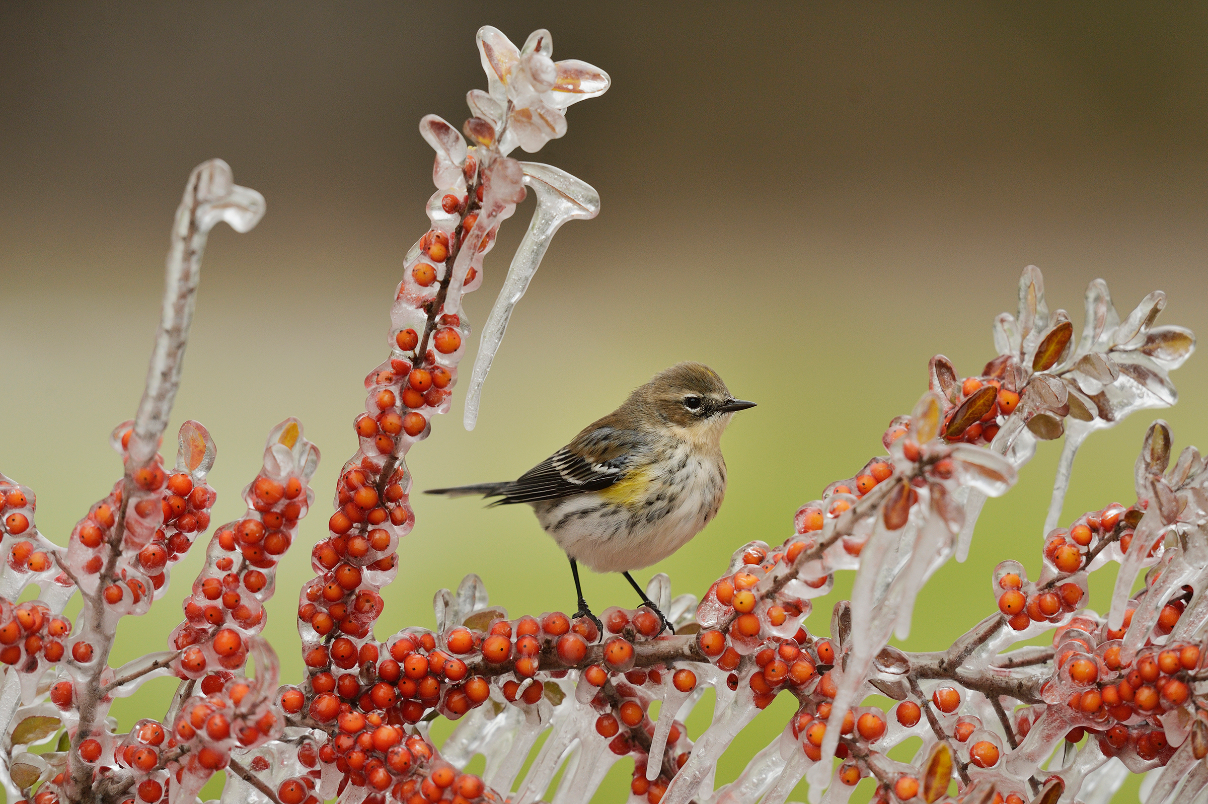 Yellow-rumped Warbler. Rolf Nussbaumer/NPL/Minden Pictures