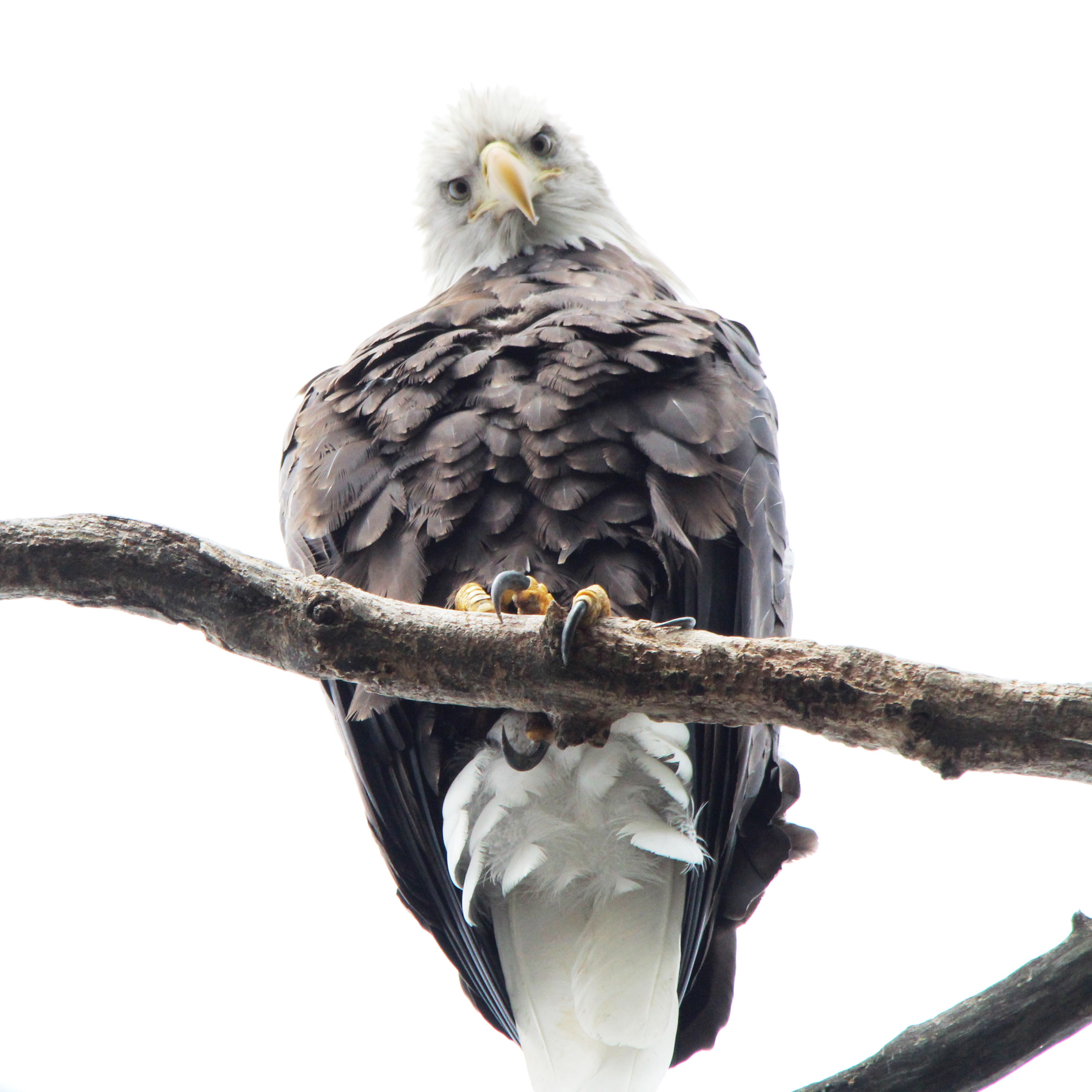 Bryand captured this shot of a Bald Eagle from her kayak by paddling quickly, gliding, and then lying down on her back to snap the photo. Monica Bryand