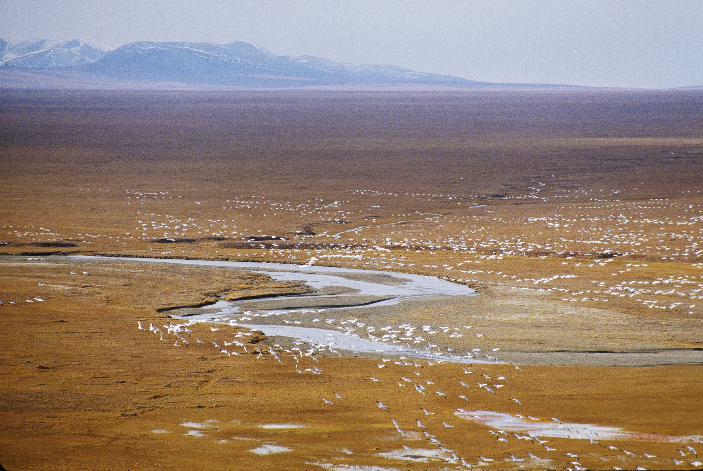 Birds erupt from the coastal plain of the Arctic National Wildlife Refuge. James P. Blair/National Geographic Creative