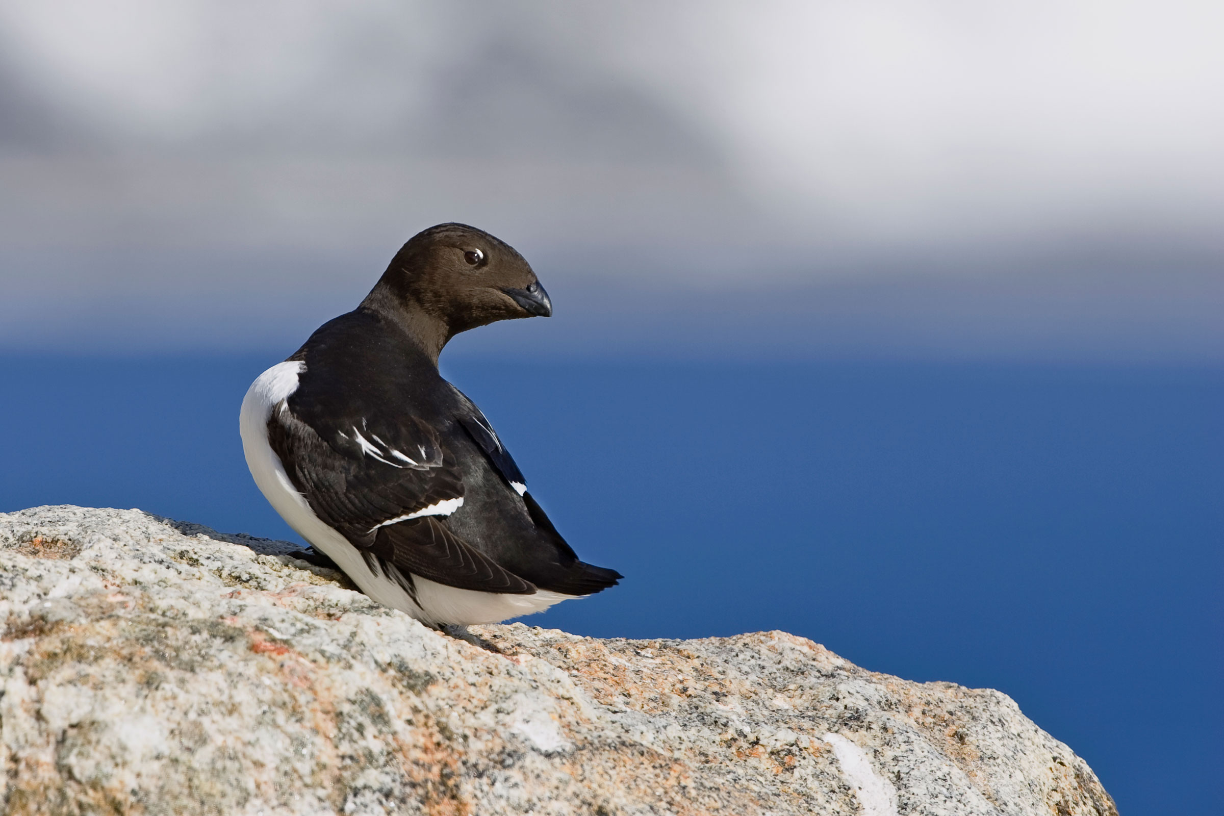 The Dovekie is a tiny member of the auk or alcid family, which also includes puffins. Konrad Wothe/Minden Picture/National Geographic Creative