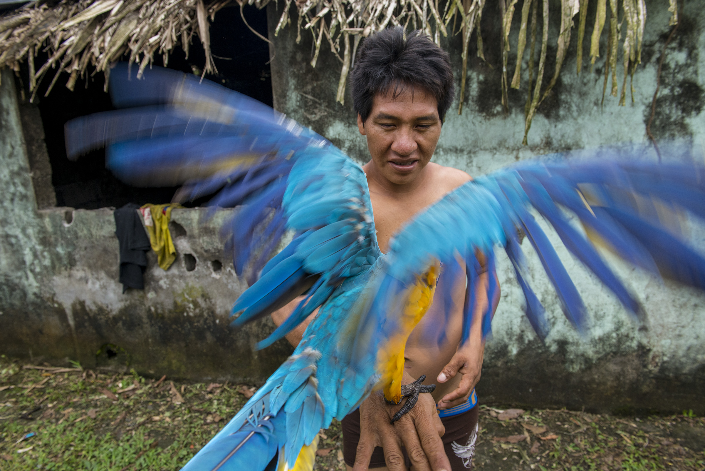 A Blue-and-yellow Macaw, also known as the Blue-and-gold Macaw, is handled by Bogui Ahua from the Waorani community of Guiyero. Neil Ever Osborne