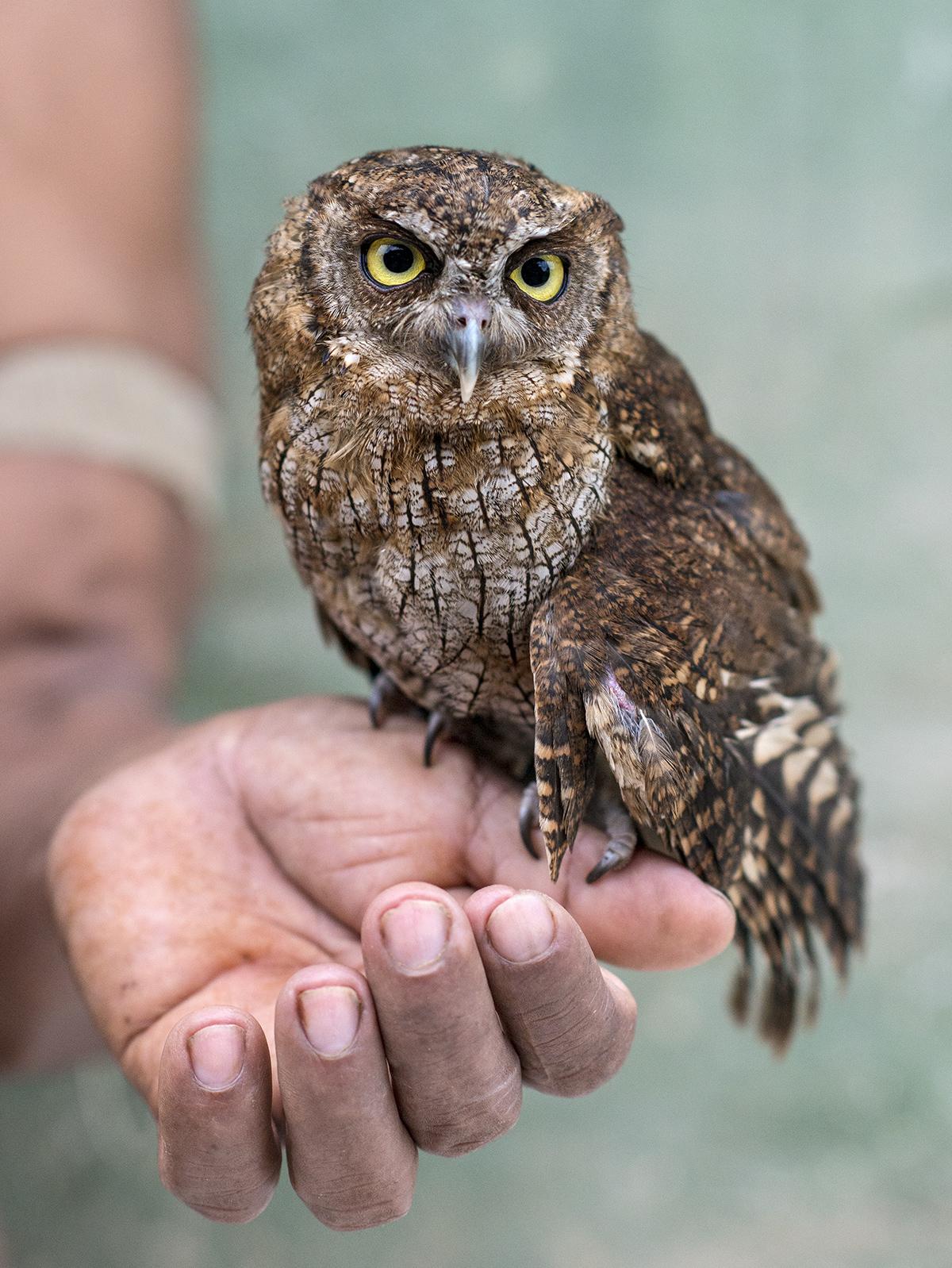 On a trek through Yasuní, the author encountered this Tropical Screech-Owl. Neil Ever Osborne