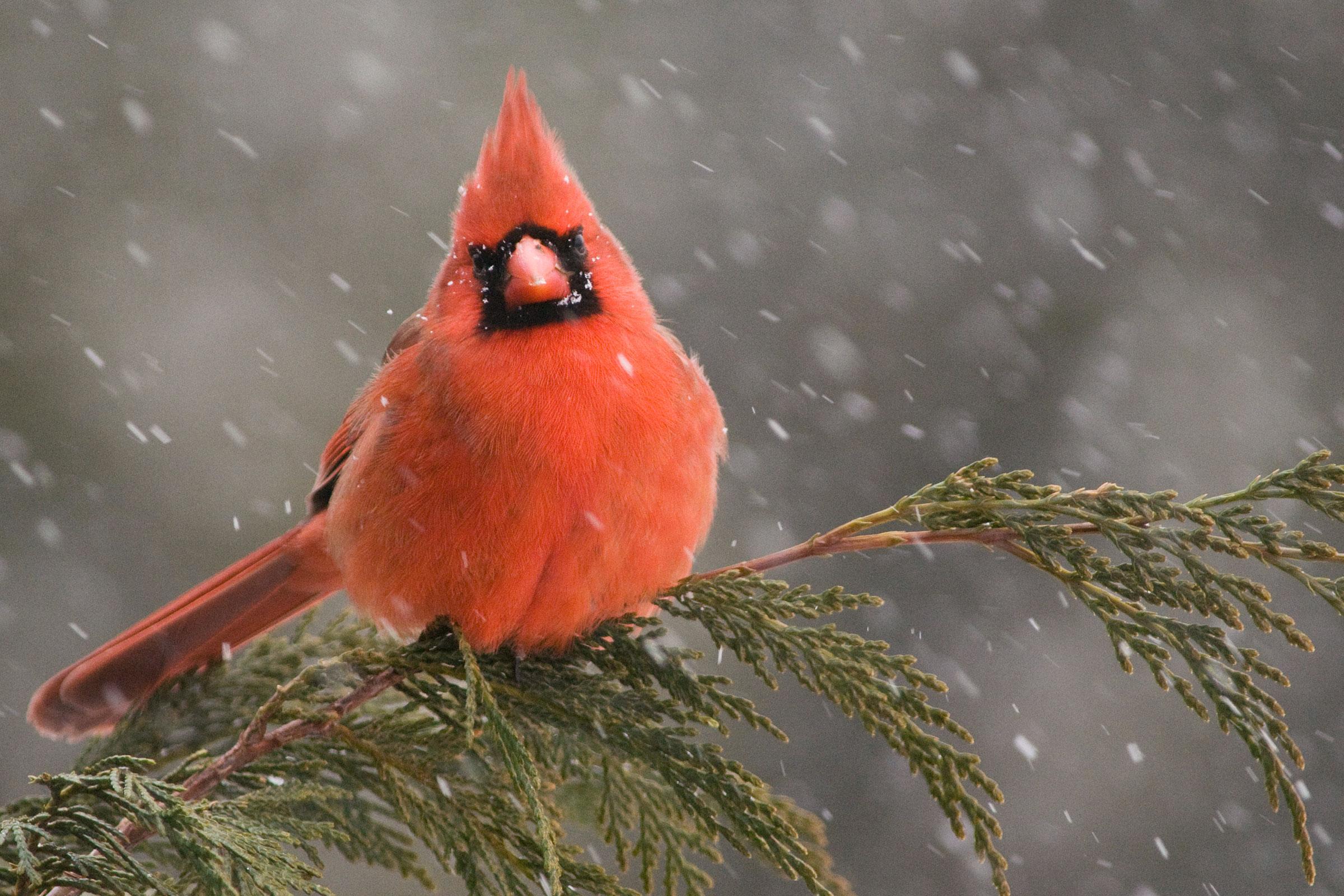 Northern Cardinal. Michele Black/Audubon Photography Awards