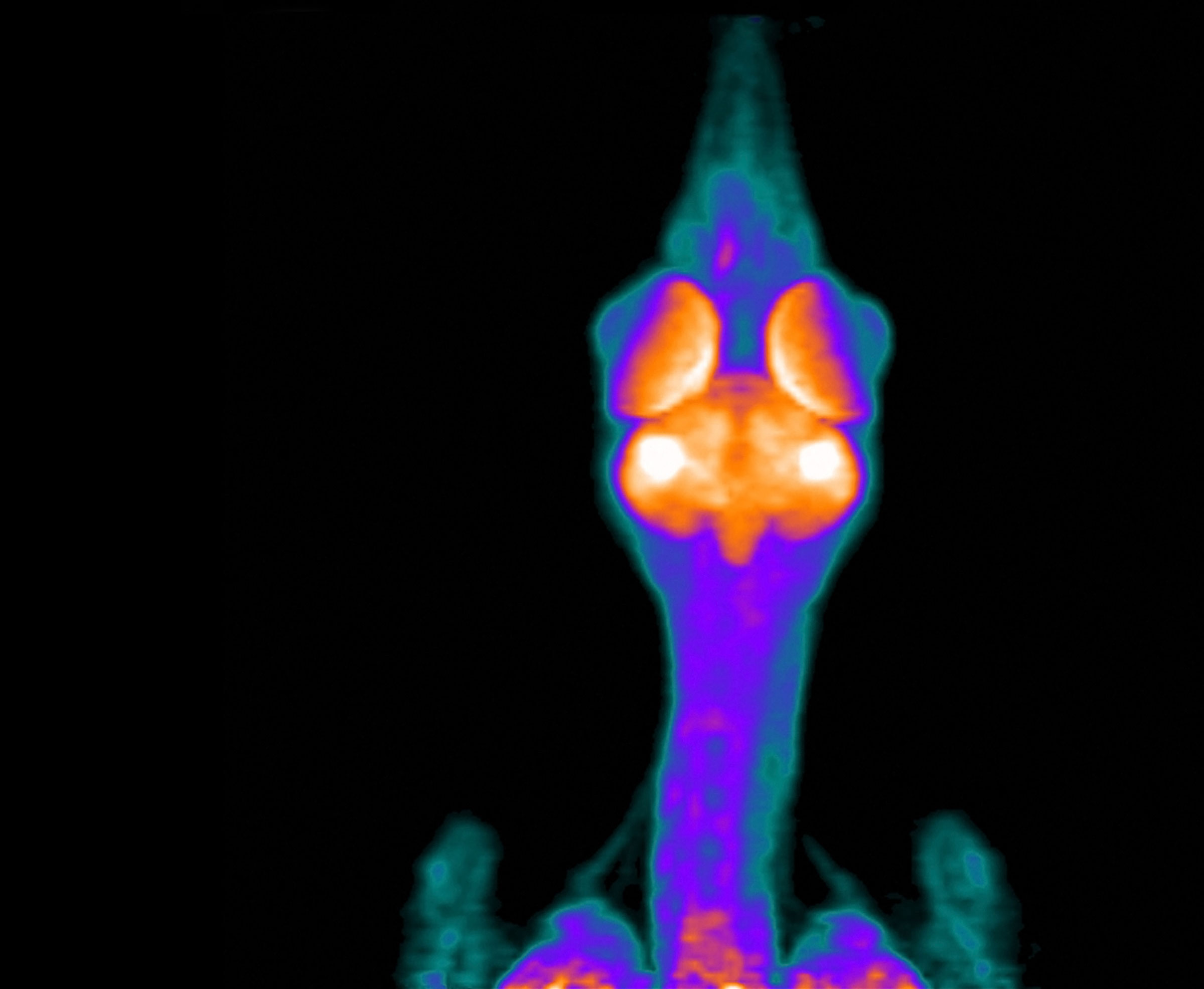 PET scan of a crow's brain: Courtesy of Robert Miyaoka/Dept. of Radiology/University of Washington