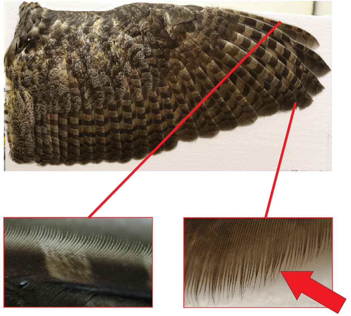 Close-up images of a Great Horned Owl's wing. On the left, you can see the leading-edge comb; it's this width that Le Piane measured for her study. On the right, the trailing-edge fringe. Diagram: Krista Le Piane.