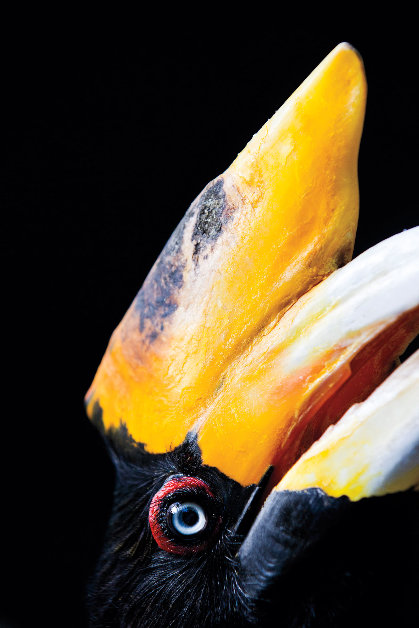Indonesian populations of Rhinoceros Hornbill have dropped to fewer than 3,000. Though its casque is hollow, poachers mistake it for the more valuable (solid-casqued) Helmeted Hornbill. Paul Hilton