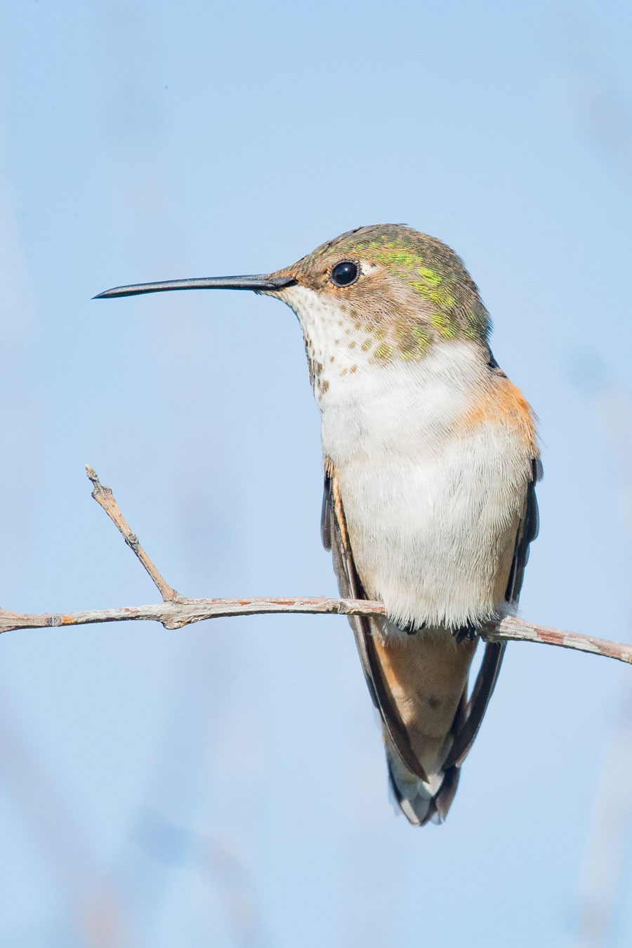 This female Allen's Hummingbird was photographed in early-morning light. The sky was clear, and the sun was low, such that contrast was lessened and the light much softer than around mid-day. Roy Dunn