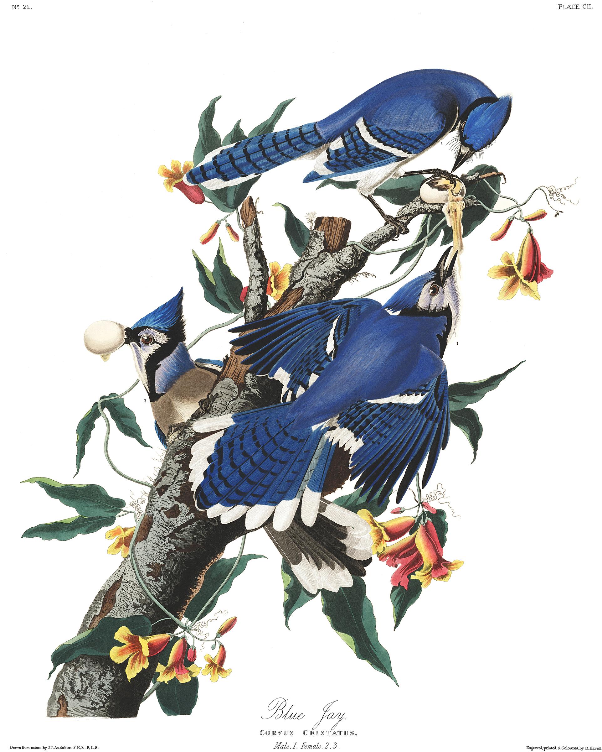 Blue Jay plate. Illustration: Courtesy of the John James Audubon Center at Mill Grove, Montgomery County Audubon Collection, and Zebra Publishing