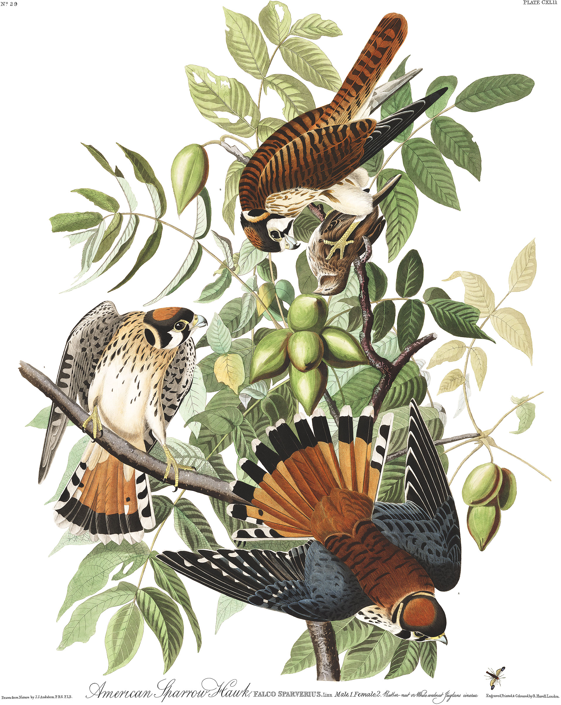 Illustration: John James Audubon