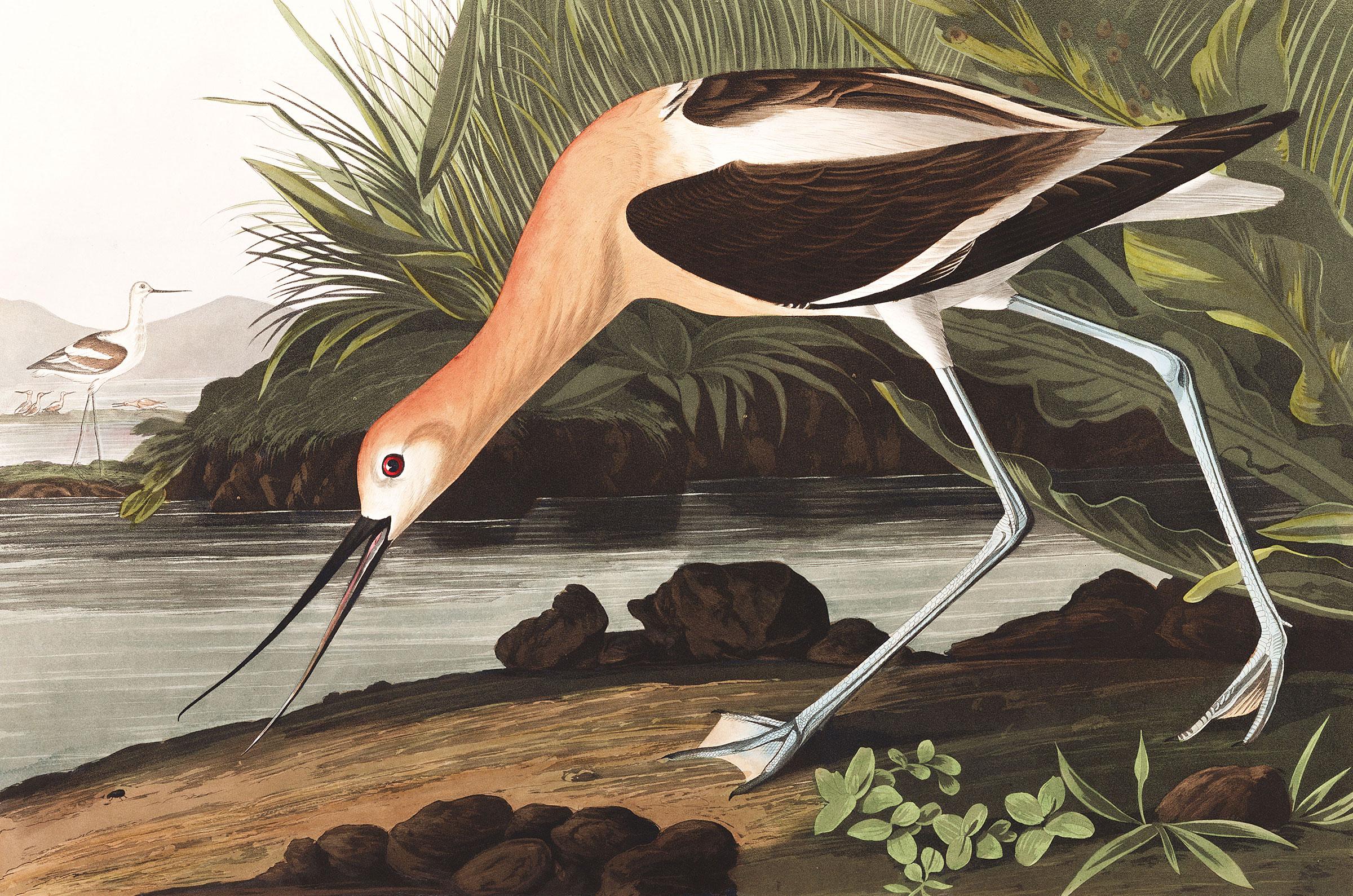 Illustration: Courtesy of the John James Audubon Center at Mill Grove, Montgomery County Audubon Collection, and Zebra Publishing