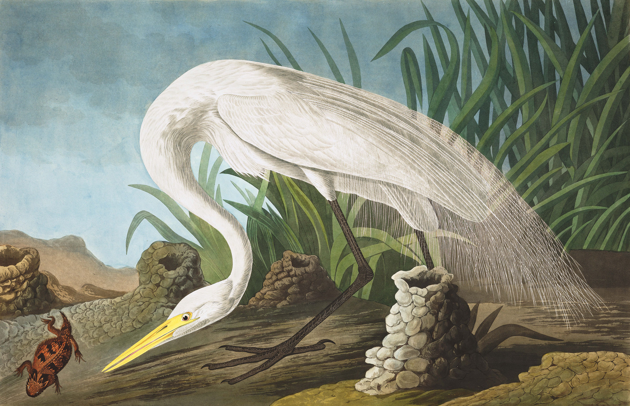 Great Egret. Illustration: John James Audubon/National Audubon Society