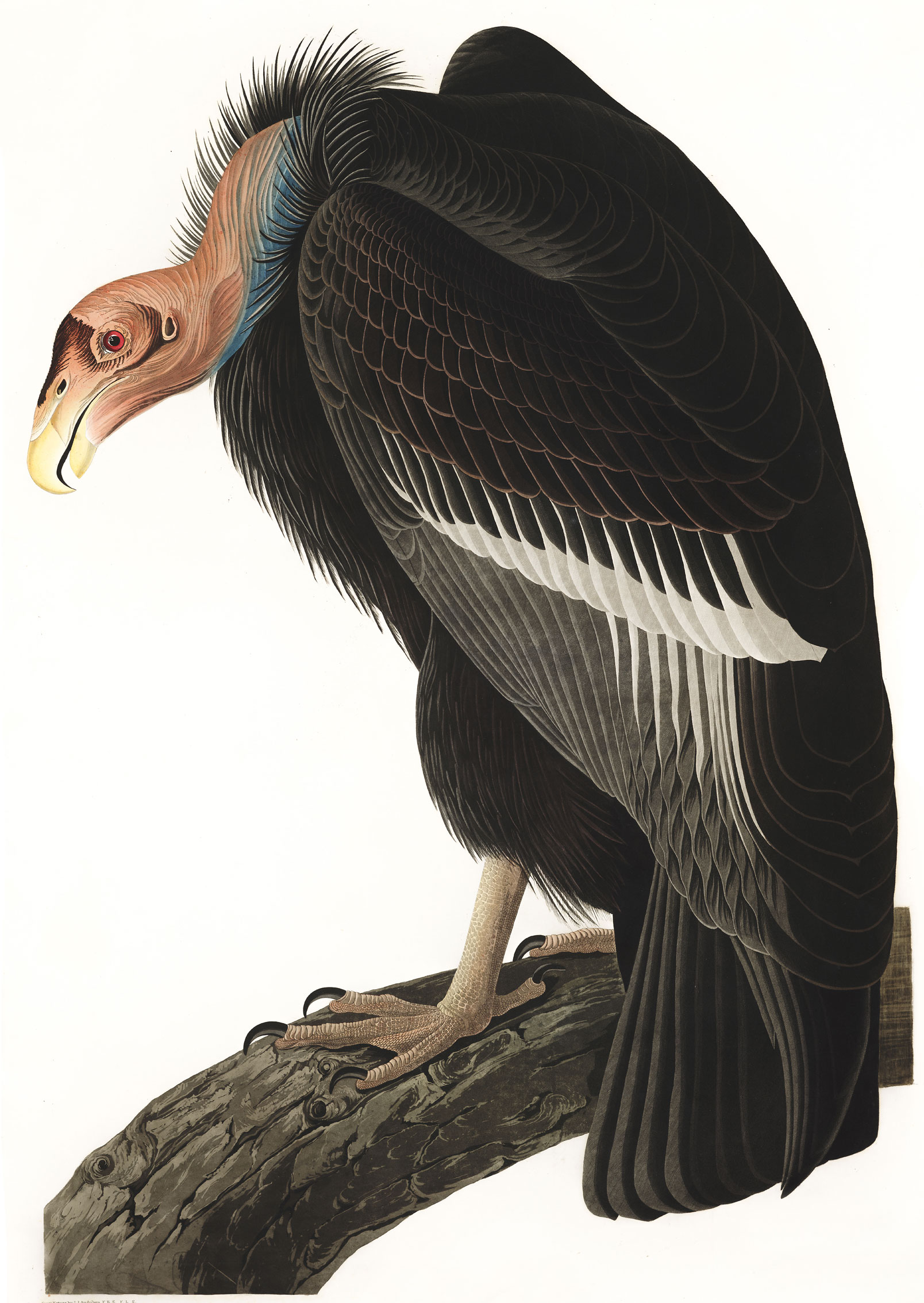 Cóndor de California. Ilustración: John James Audubon