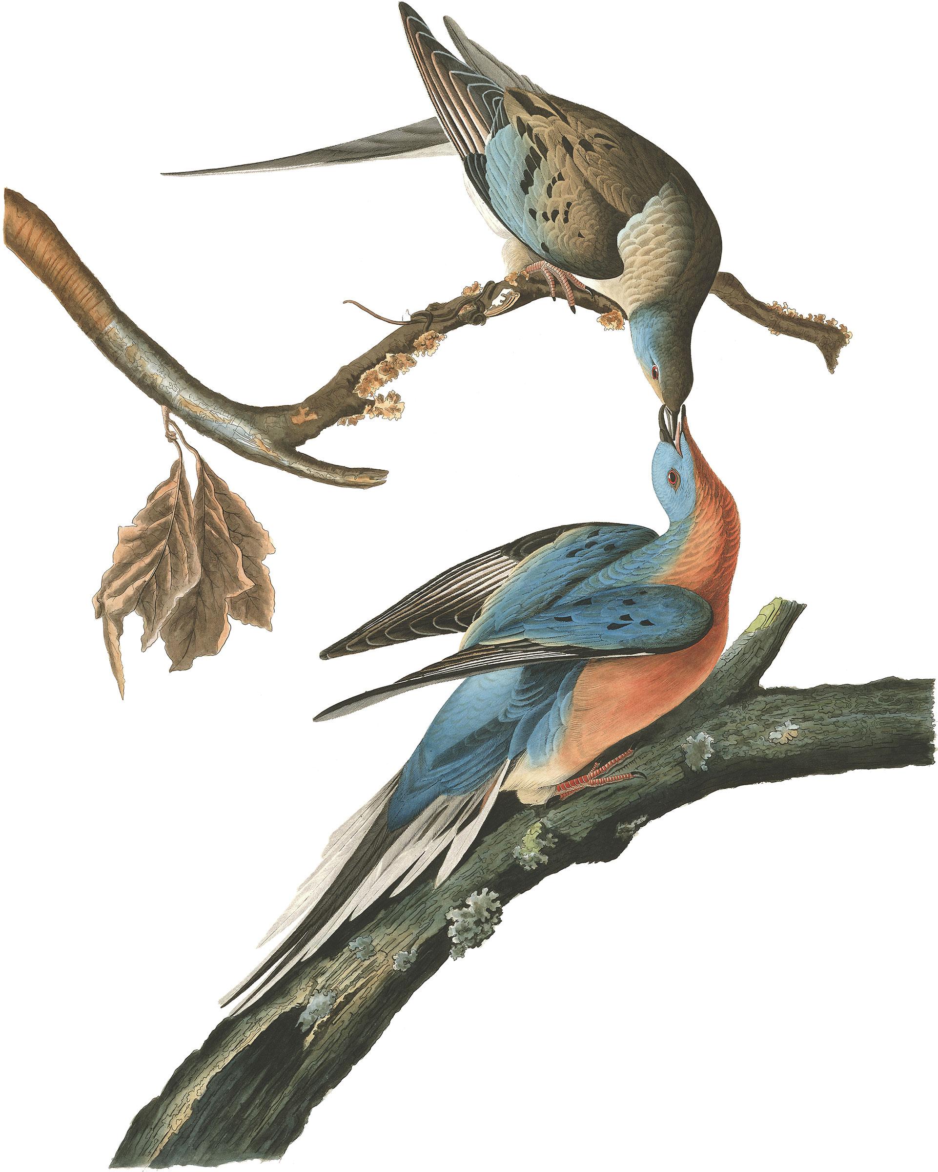 Illustratiion: John James Audubon