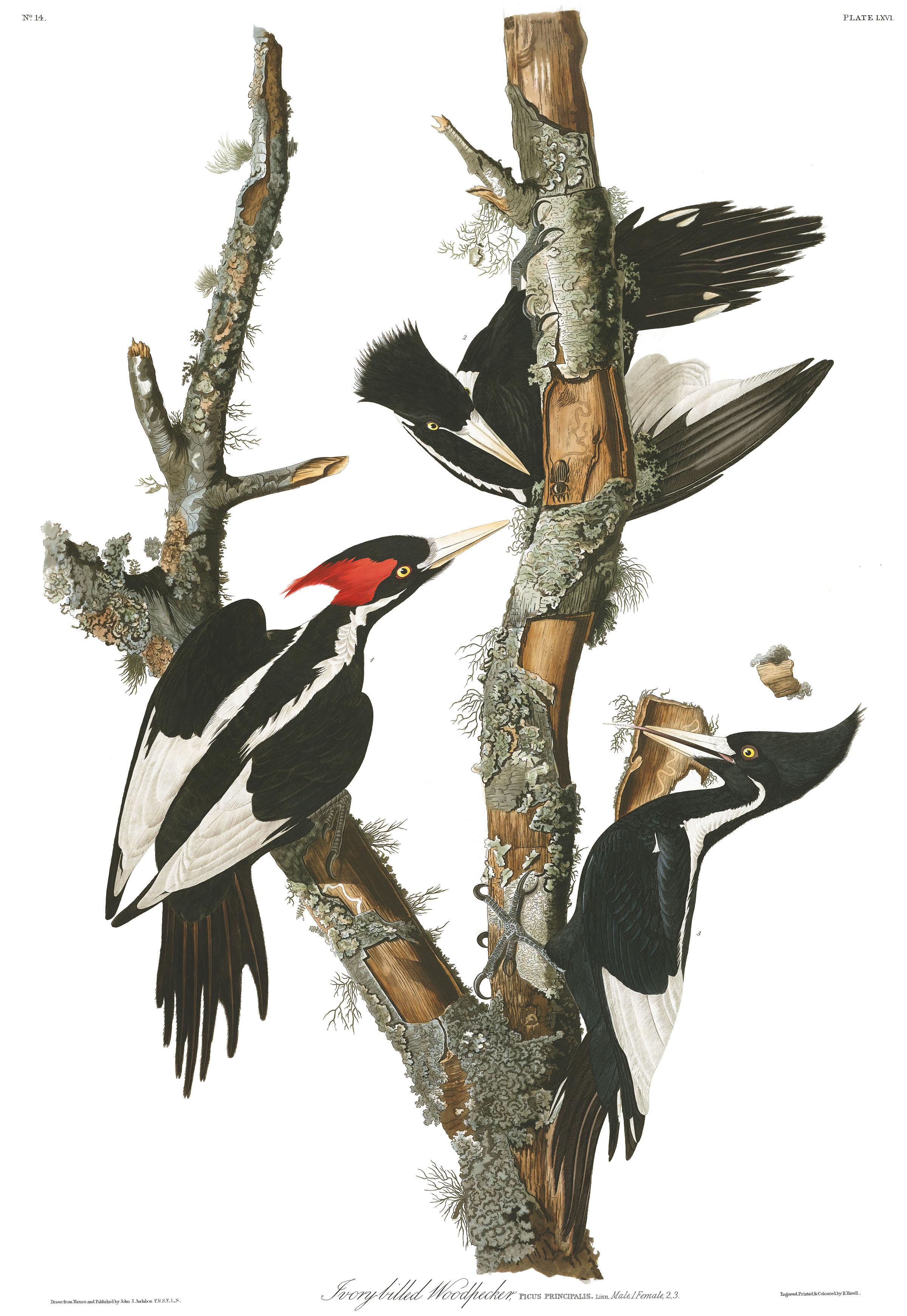 Ivory-billed Woodpecker. Illustration: John James Audubon