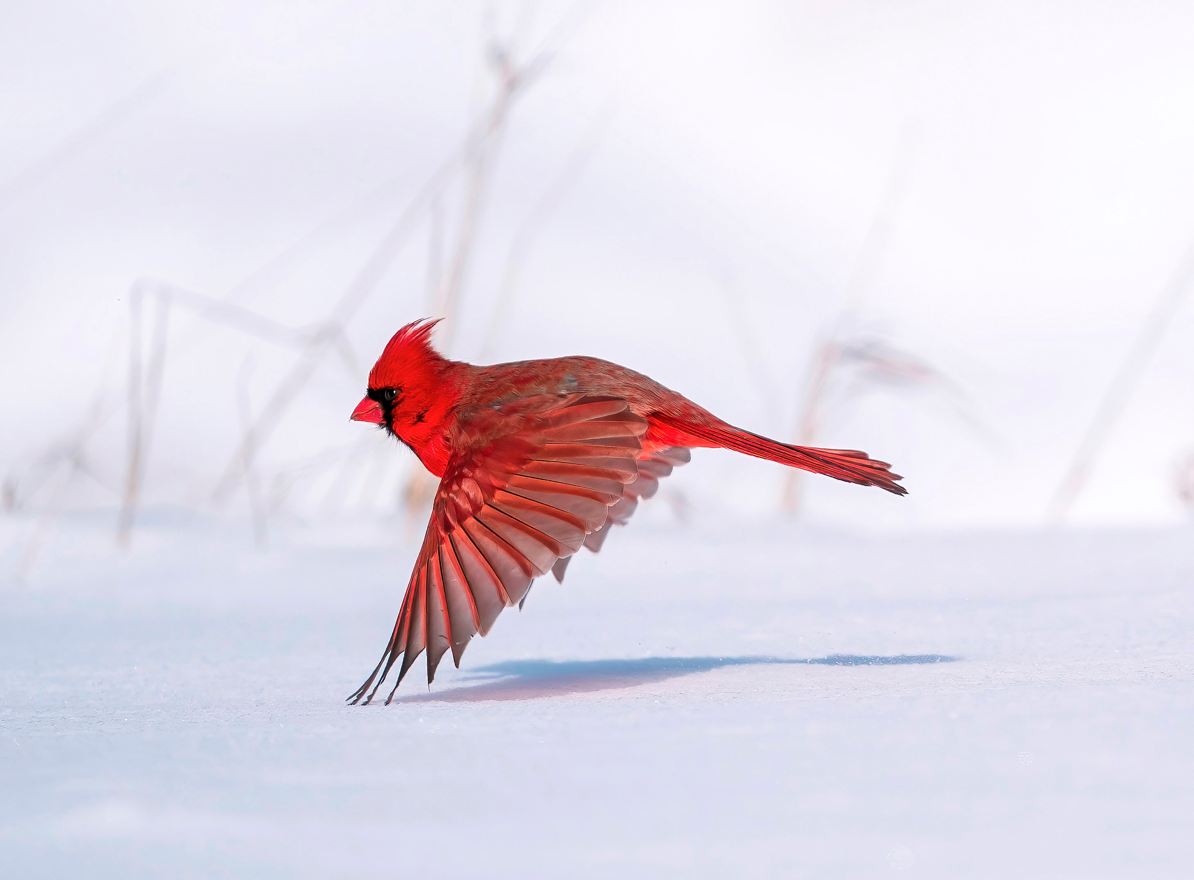A red male Northern Cardinal seems to float above the snowy ground, the crest feathers on its head blown backward in the wind as it flies in profile in front of gray plant stalks. The bird's three wing feathers touch the white carpet of snow, its shadow connecting below.