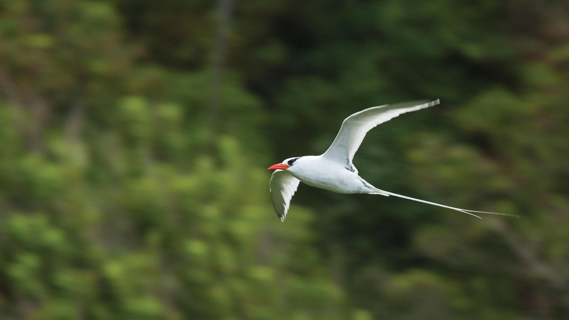 Red-billed Tropicbird. Faraaz Abdool