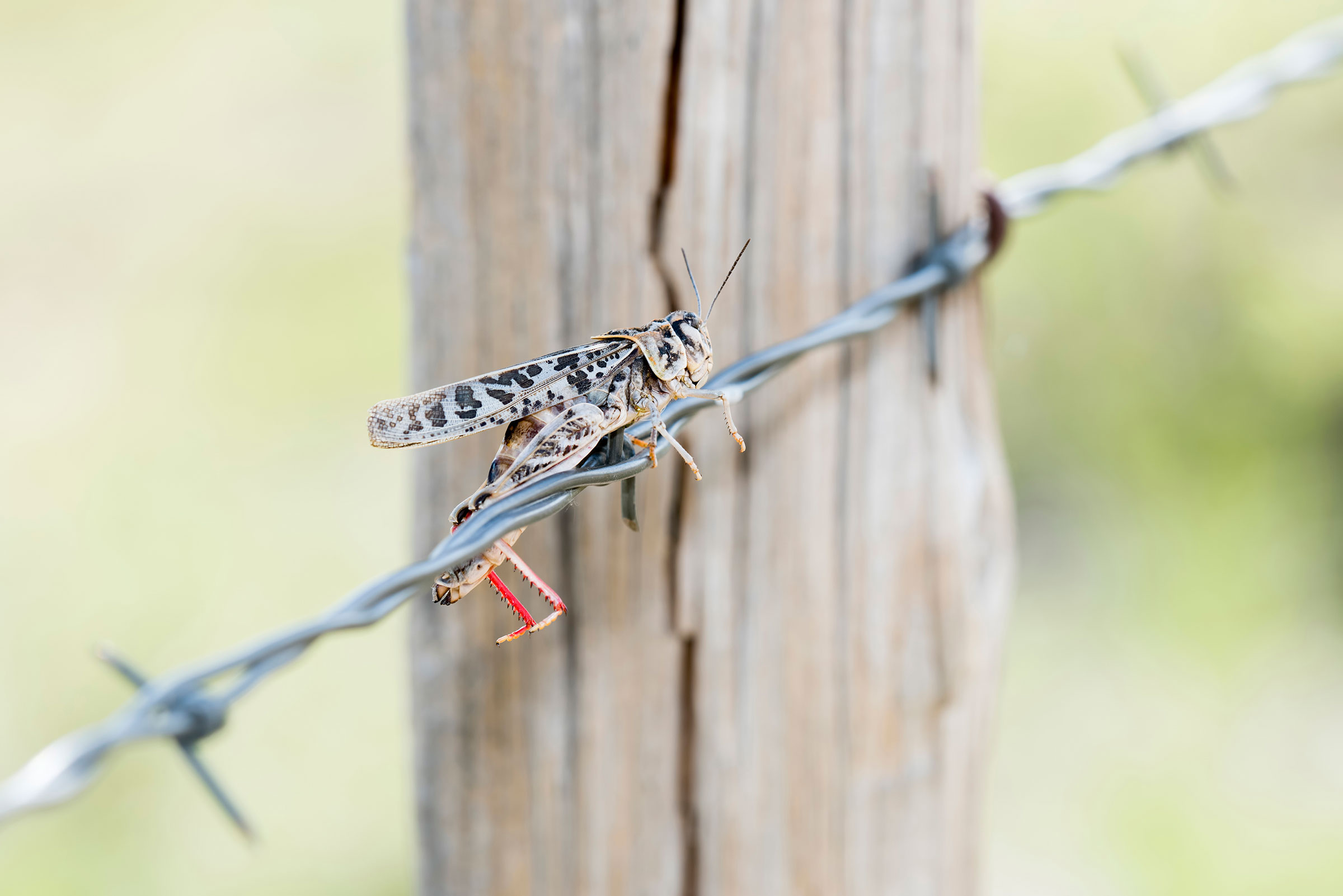 Red-shanked Grasshopper. Rachel Hopper