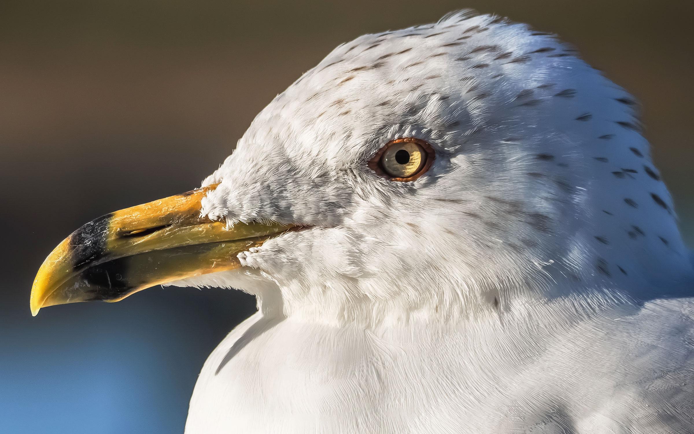Ring-billed Gull. Tony Peebles/Great Backyard Bird Count