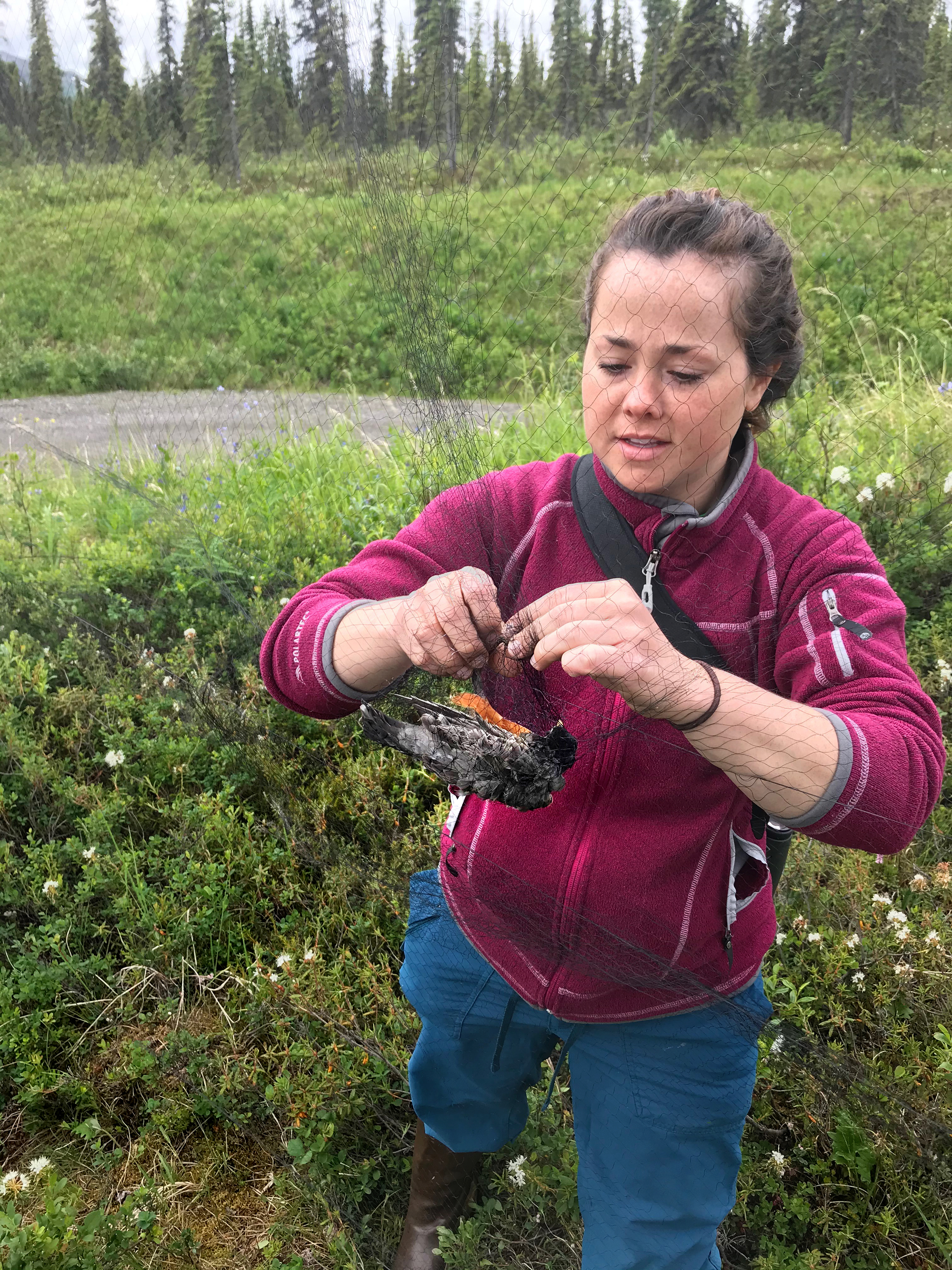 To track robin migration and the possible spread of disease Emily Williams and her colleagues catch the birds in mist nets, affix GPS tags, and take blood samples. Alex Jahn/NPS