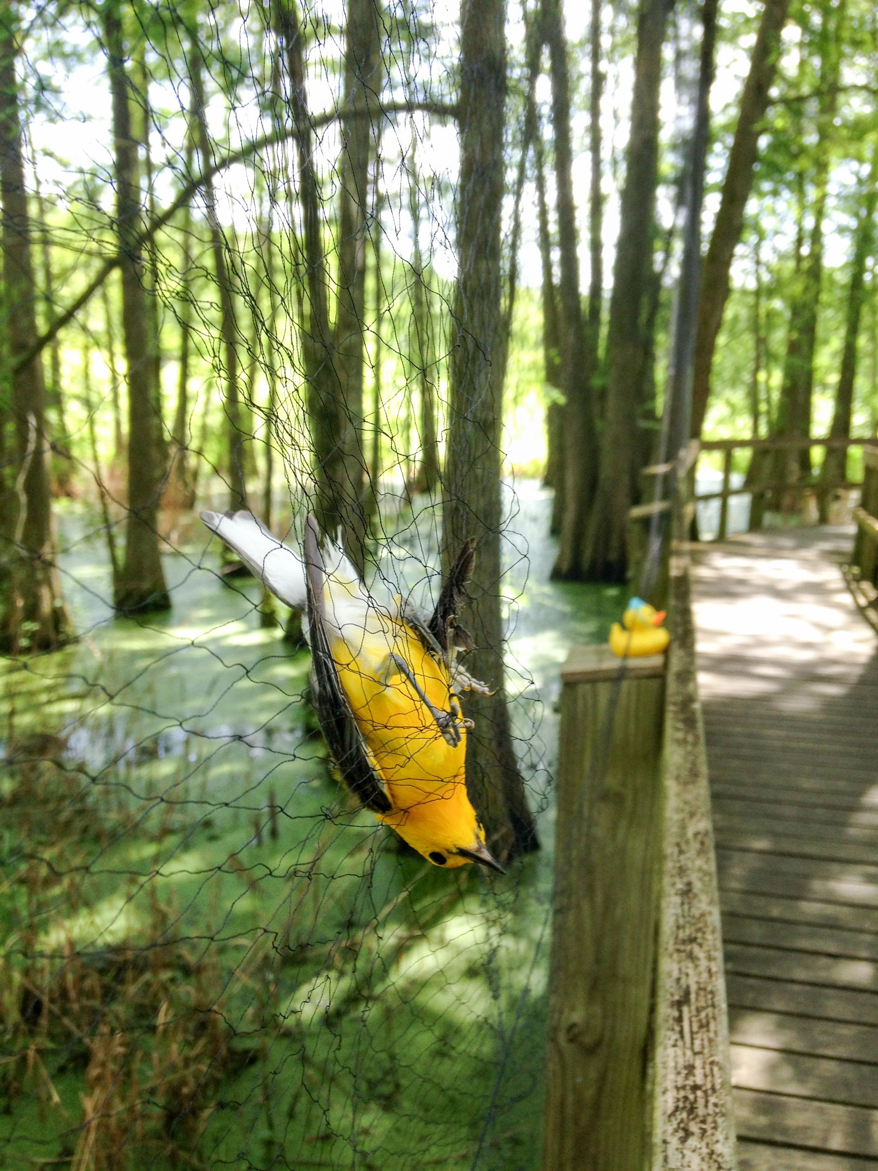 A rubber duck is used to lure a Prothonotary Warbler into a catch net. Katie Percy/Audubon Delta