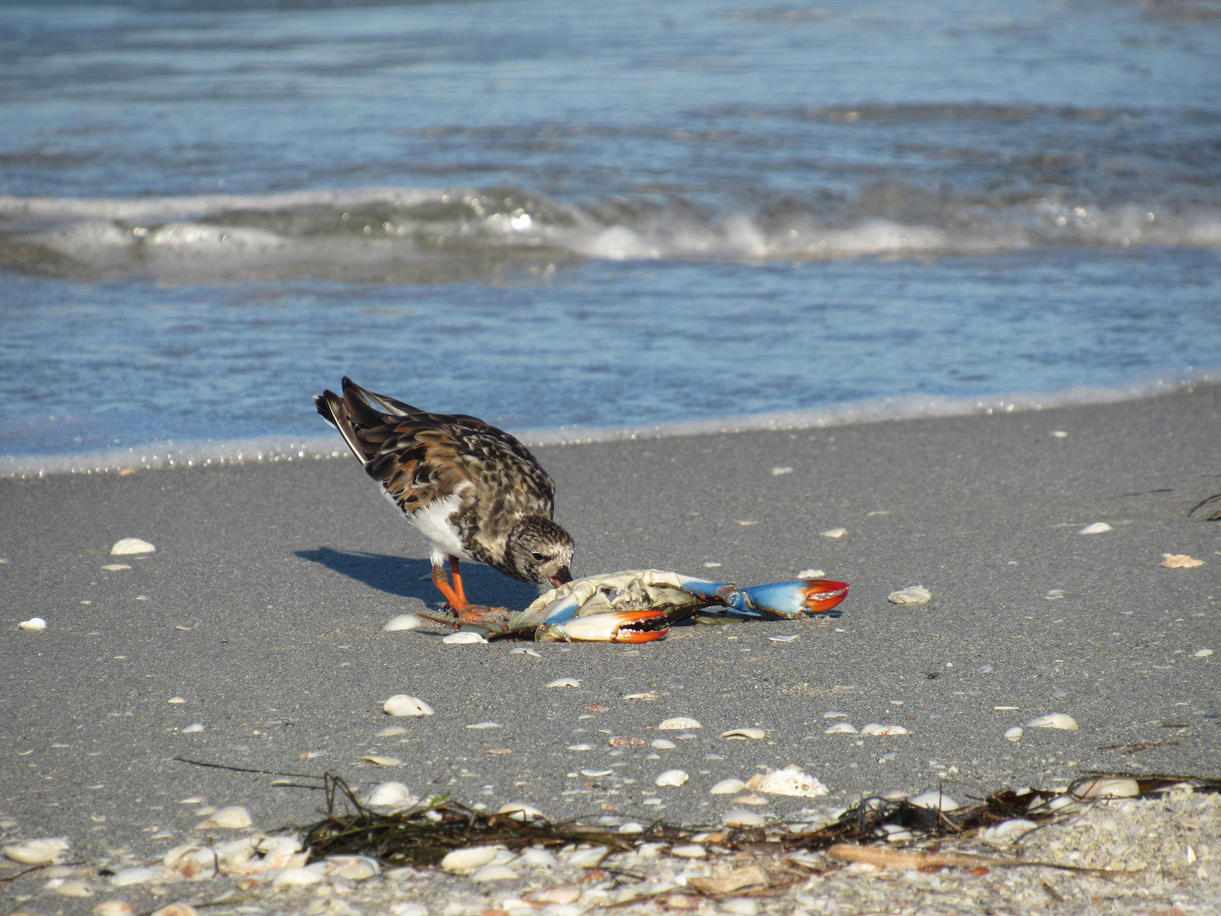 A Ruddy Turnstone snacks on a crab on Sanibel Island. Many migrants' favorite foods like mole crabs and coquinas have died, so the birds turn to other foods to survive. Audrey Albrecht