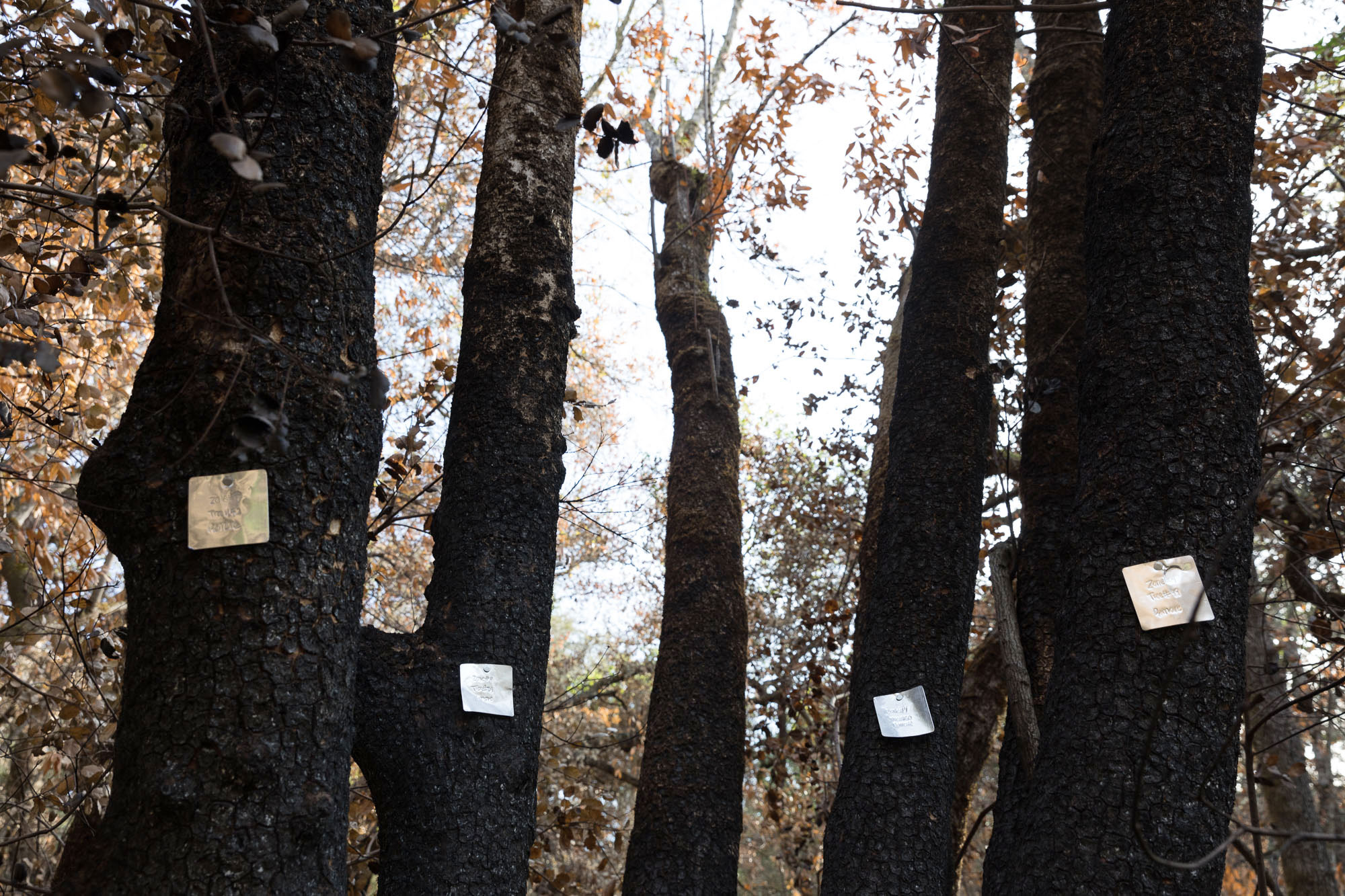 Charred trees are labelled for removal. Ryan Young