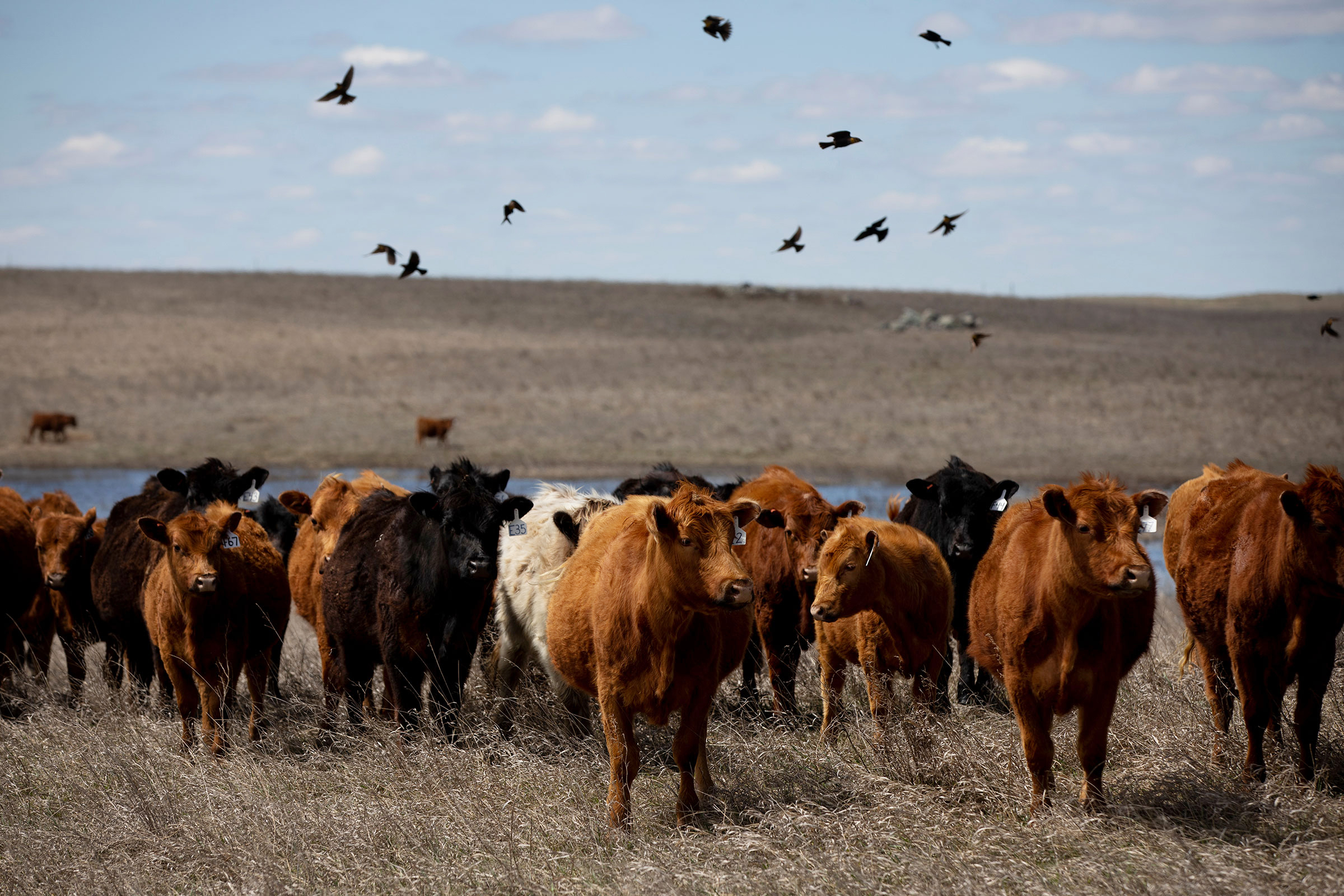 """Sand Ranch cattle graze near a pothole wetland. Cody and Deanna Sand (right) have found that helping grasslands recover benefits cows and birds. """"It's a win-win,"""" Cody says. Kristina Barker"""